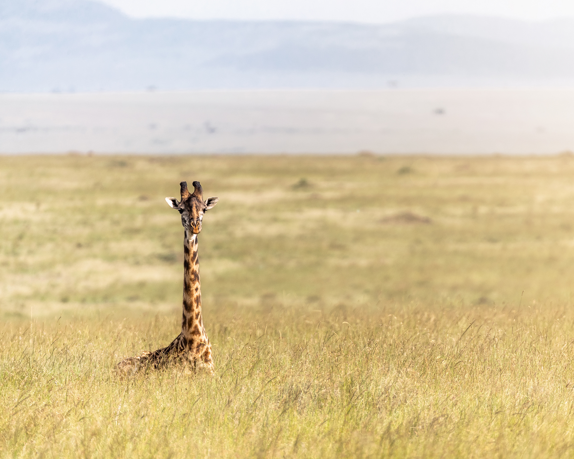 Single Masai Giraffe Lying in Africa Grasslands.jpg