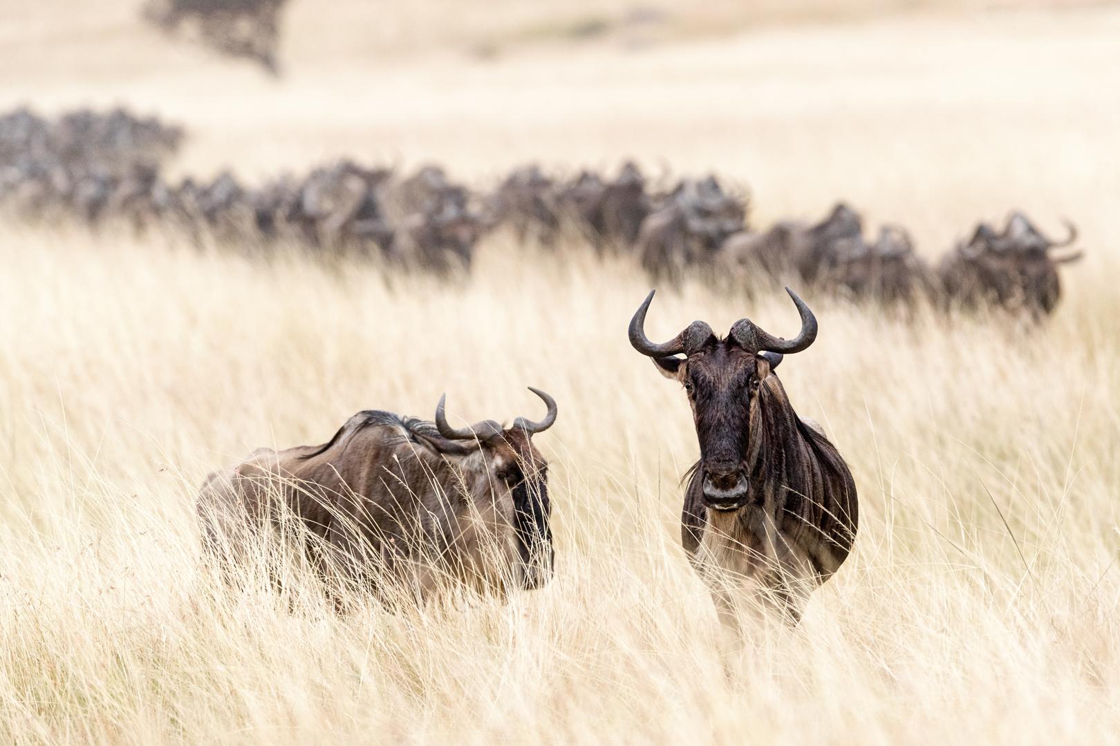 Wildebesst in Tall Grass Field in Kenya.jpg