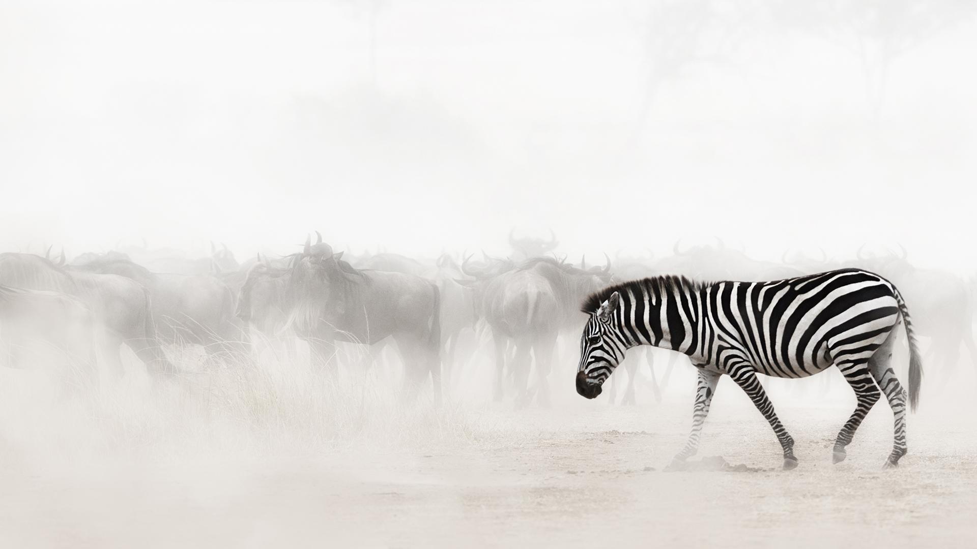 Zebra in Dust of Africa.jpg
