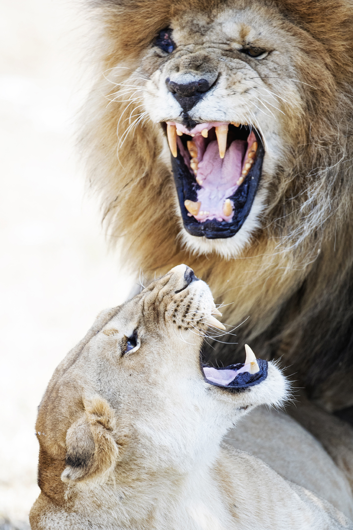 Lion and Lioness Snarling at Each Other.jpg