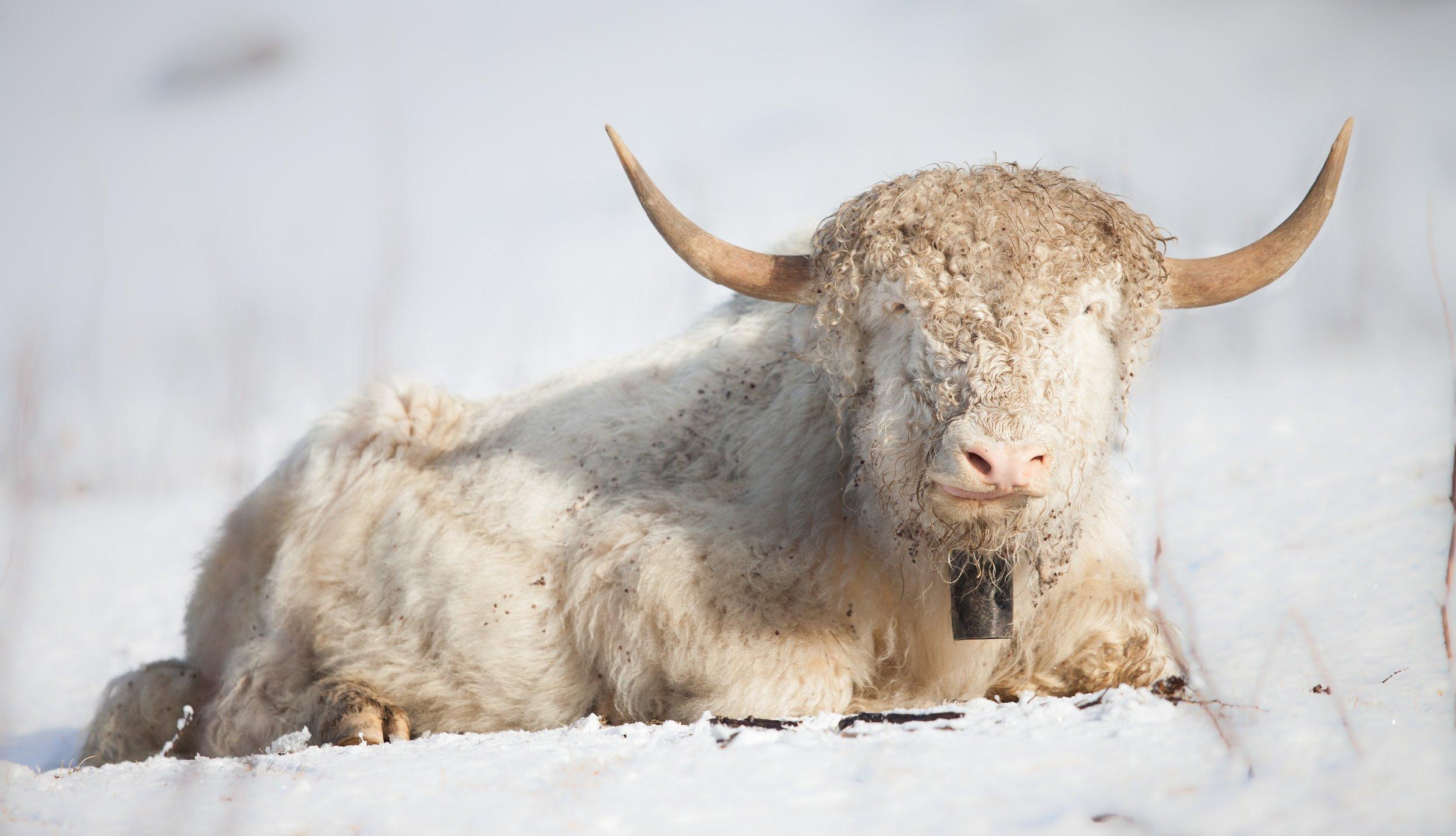 A protected albino yak in Merak.