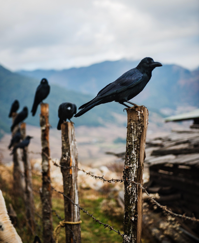 Ravens at Phobjikha Valley