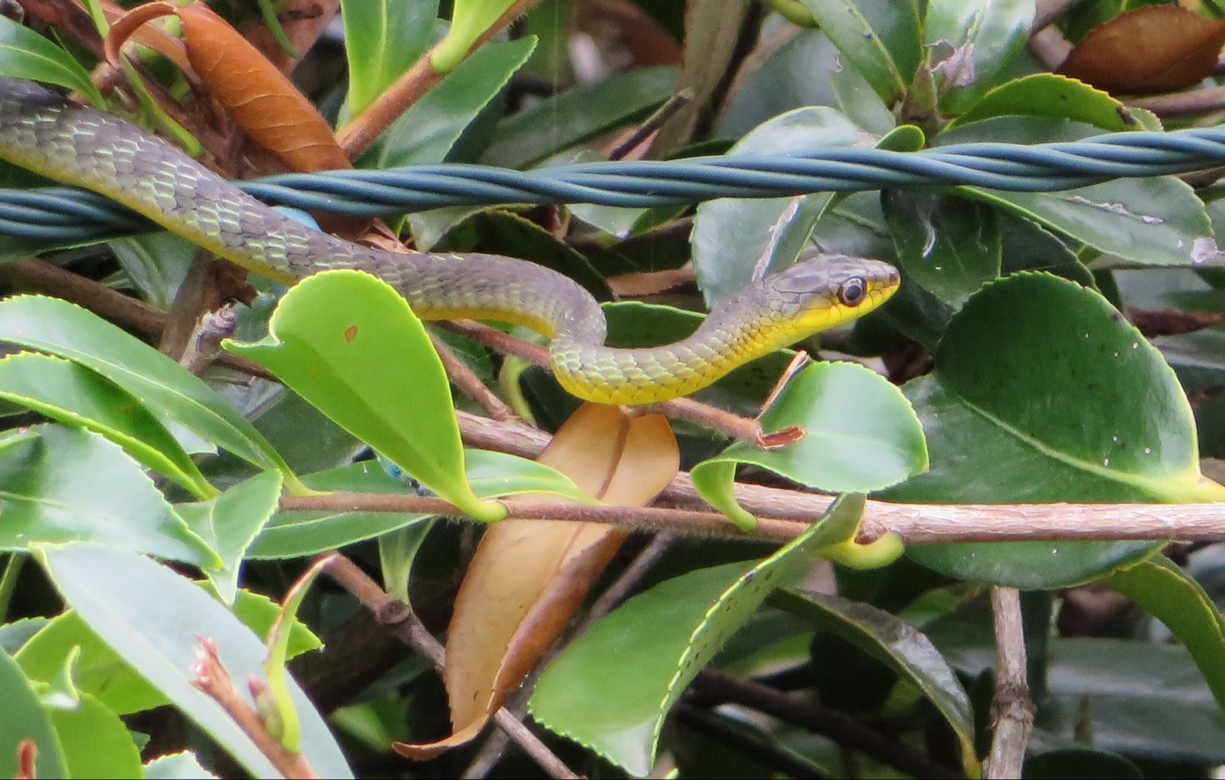 what will we do? - Give you advice and a quote for our service over the phone. If you can send a picture of the snake we will try to identify it.Be there as soon as we can.Catch the snake if possible and relocate it to a suitable environment.Take an injured snake into care with TVWC.
