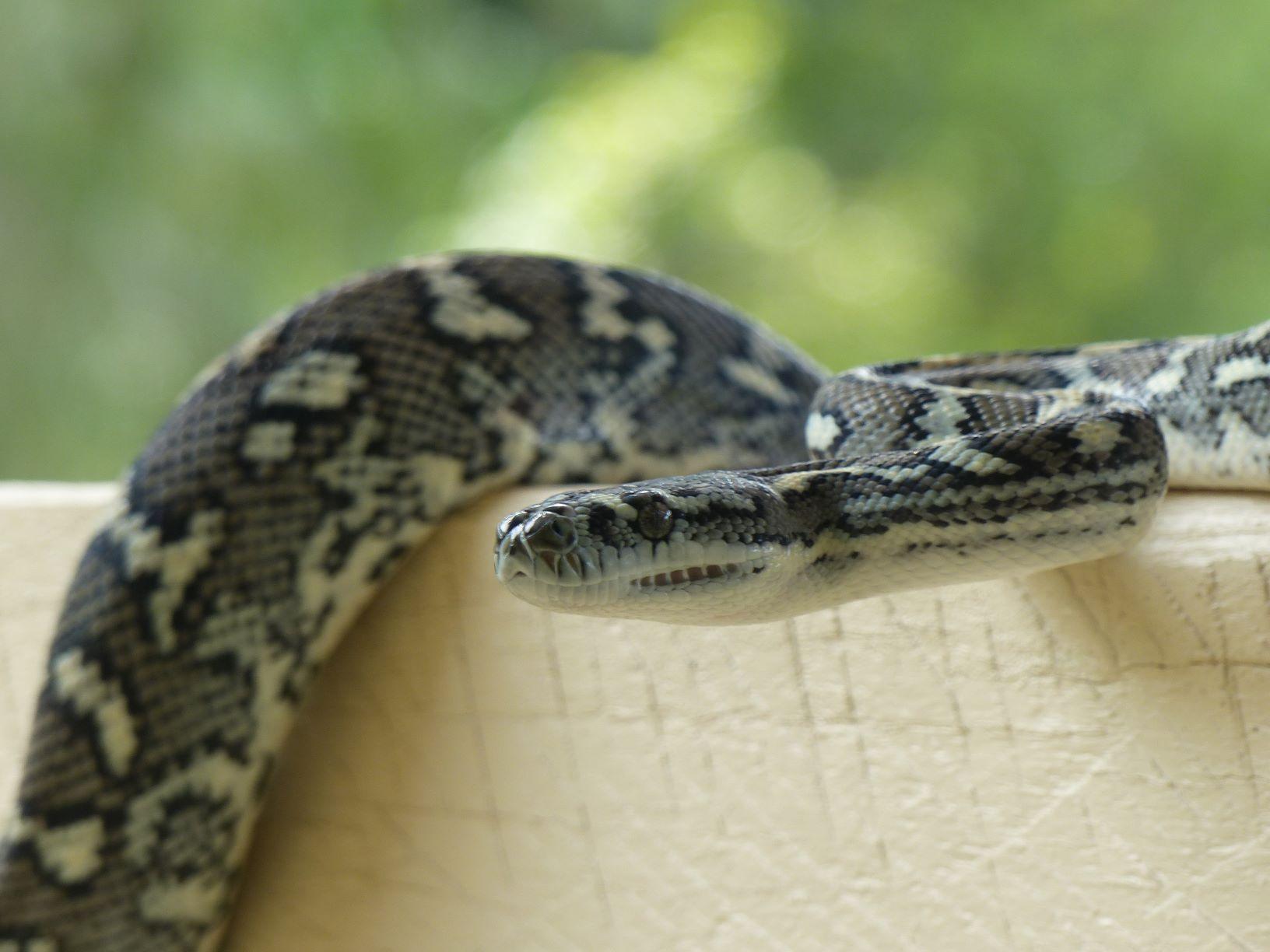 carpet-snake.JPG