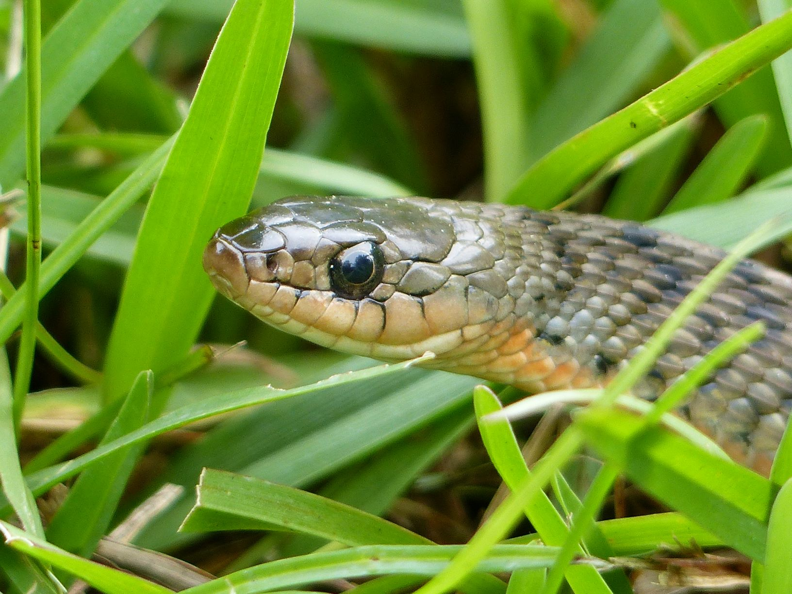 Great shot of the head showing the loreal scale (unique to non-venomous snakes) the upturned mouth that looks like it's smiling, and the dark lines between the scales on the upper lip. The Rough-scaled Snake doesn't have a loreal scale, the mouth is flatter and there are no dark lines between the scales on the upper lip.
