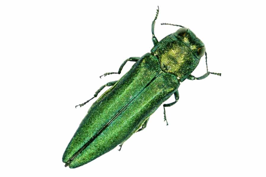 Emerald Ash Borer - It's here … the pest that has decimated the North has made its way south. Some estimate that as much as 11-percent of our total tree canopy consists of ash tree species -- that's a lot to lose, Nashville! Though there's little we can do to stop it, you have some treatment options if you have a big, cherished ash tree. Click on the link below for more information.