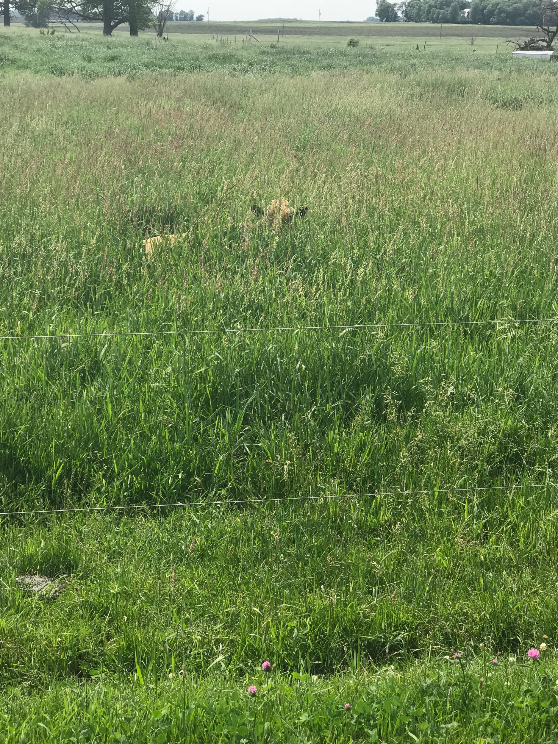 Can you see Shiloh in the tall grass?