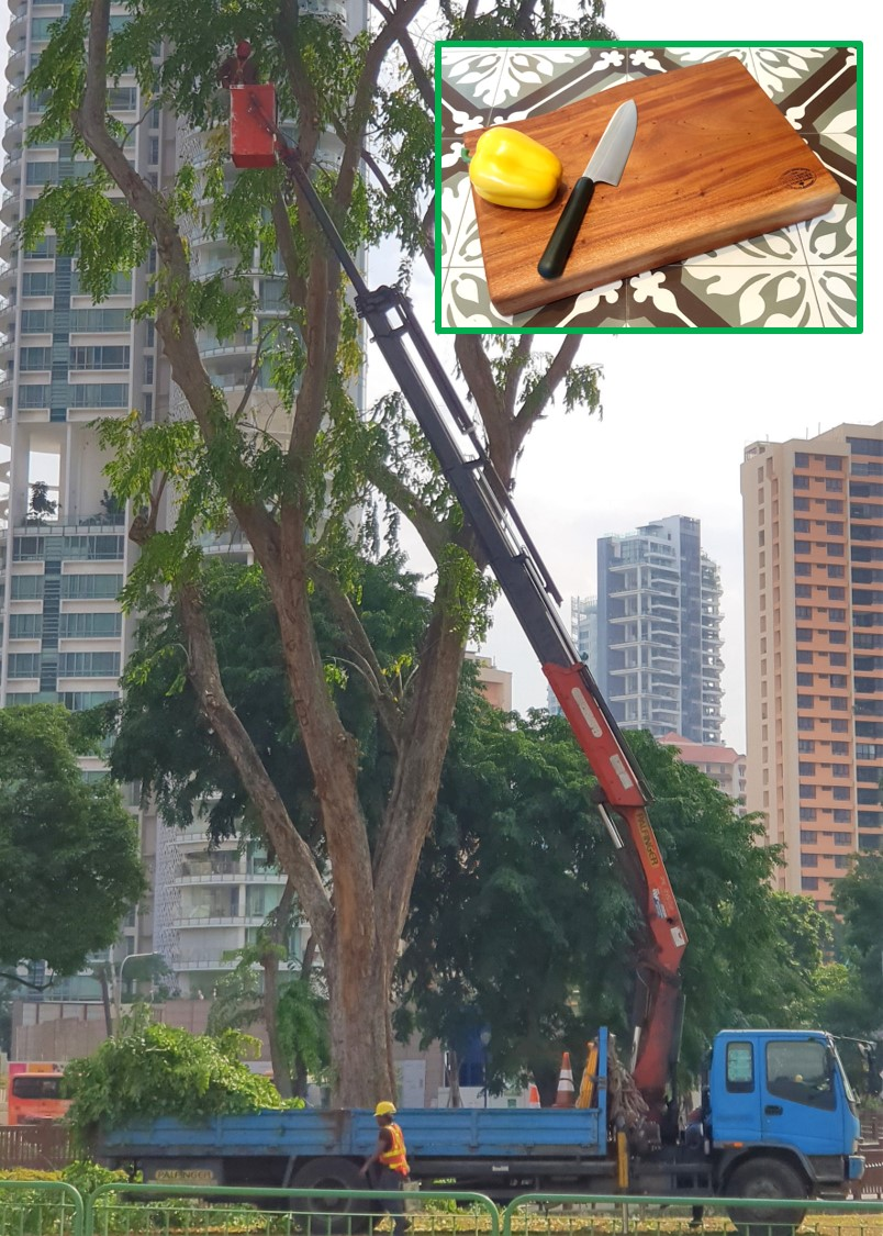 Downtown Singapore : high, heavy branches are cut for safety and they're perfect for our  URBAN GROWN  hardwood  Live Edge Cutting Boards