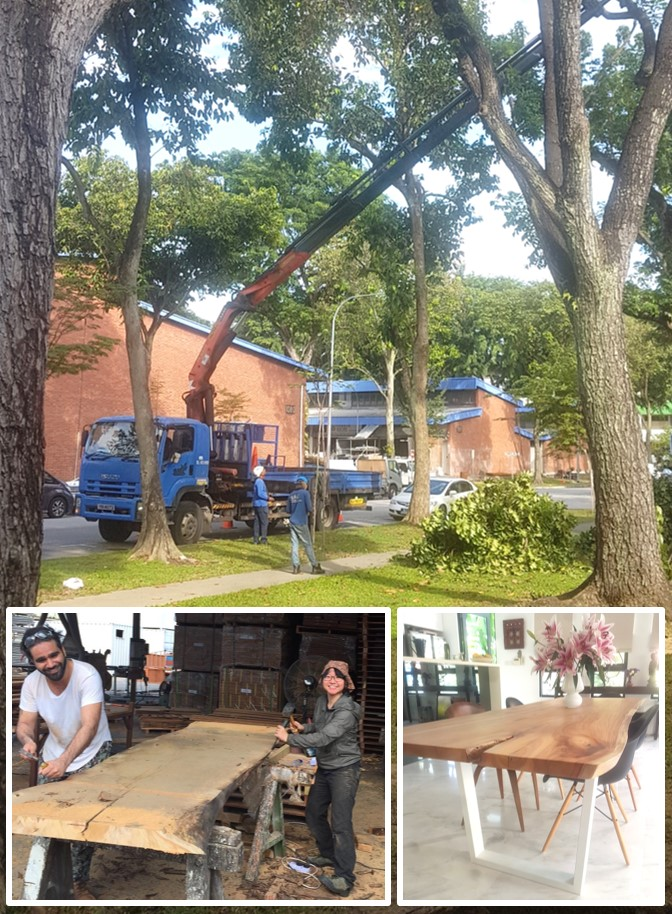 Eunos area : Angsana trees cut for en-bloc development have a second life as our  Solid Slab Dining Tables