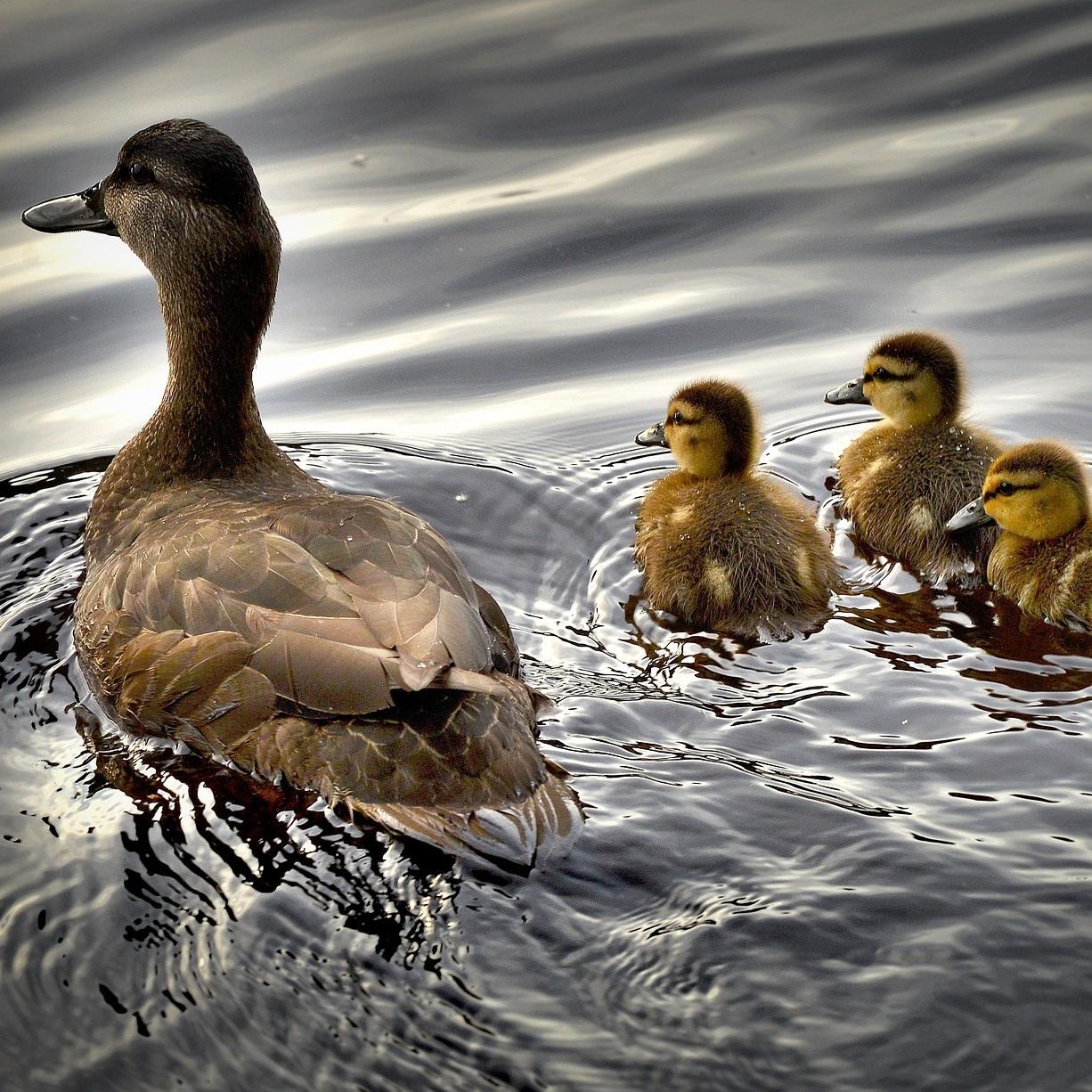 black-ducks-2429165_1920.jpg