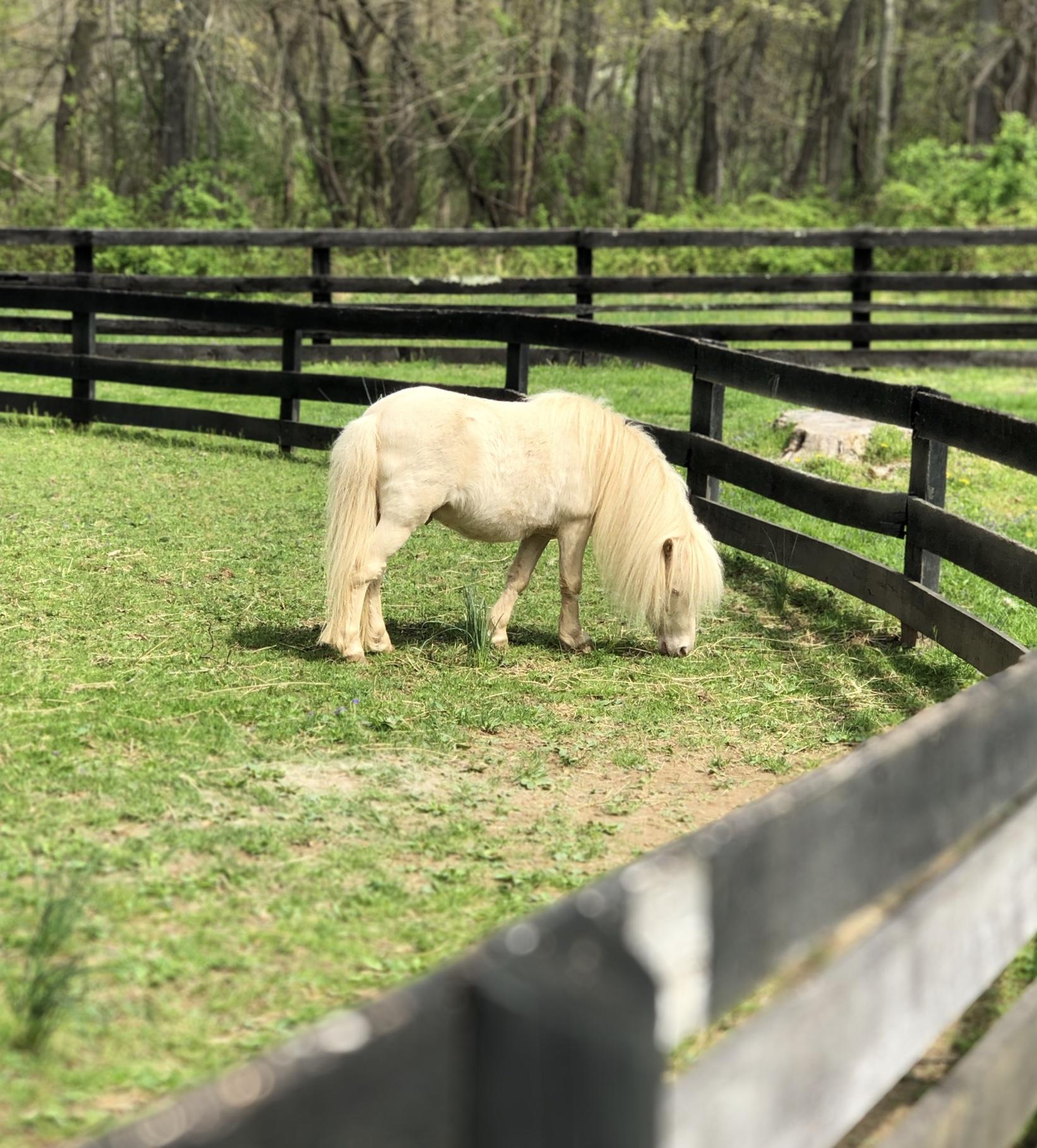 Mini-stallion Jack, another delightful Fursman resident grazing
