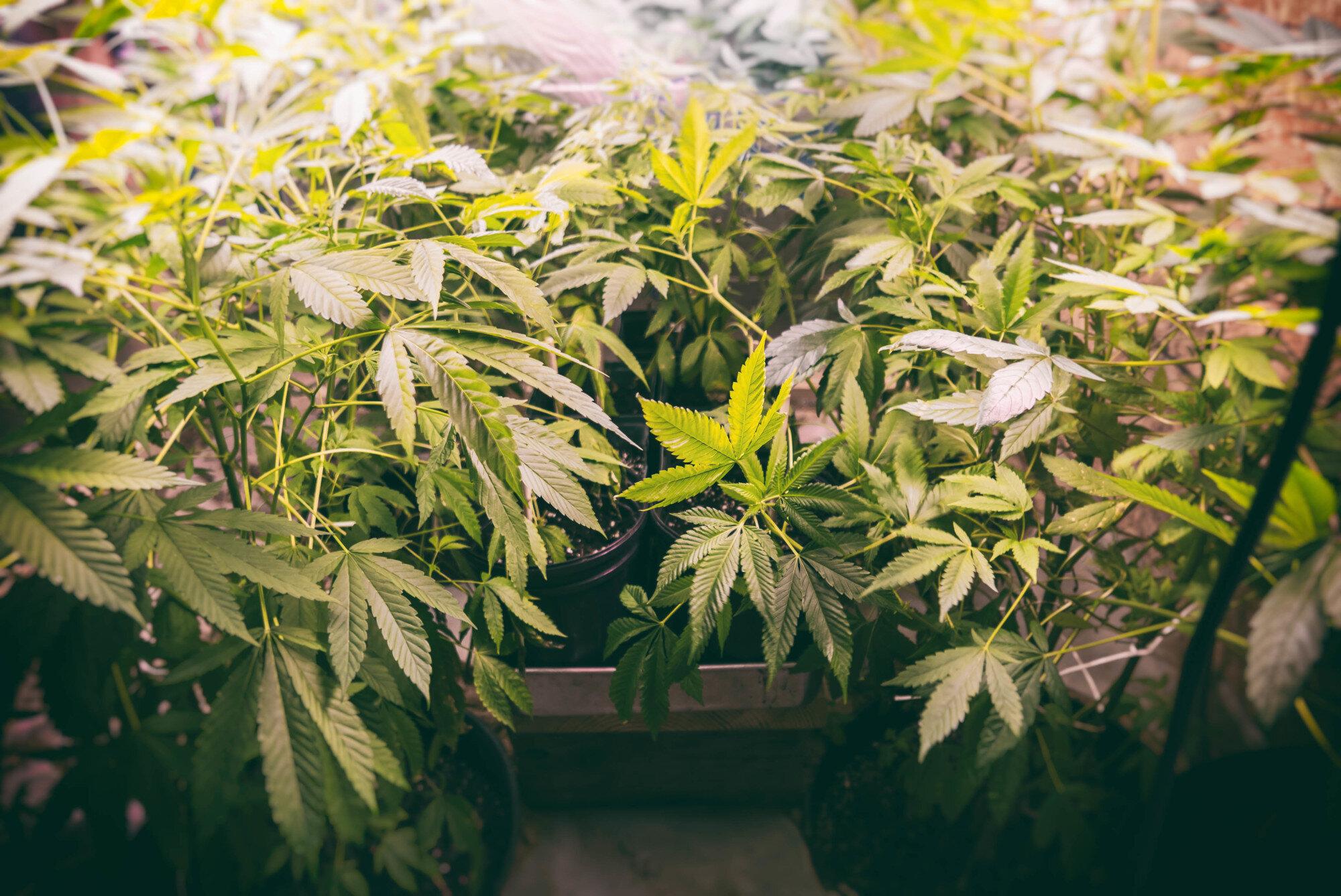 Marijuana Grow Op. Marijuana plants growing under artificial lights in a grow op.