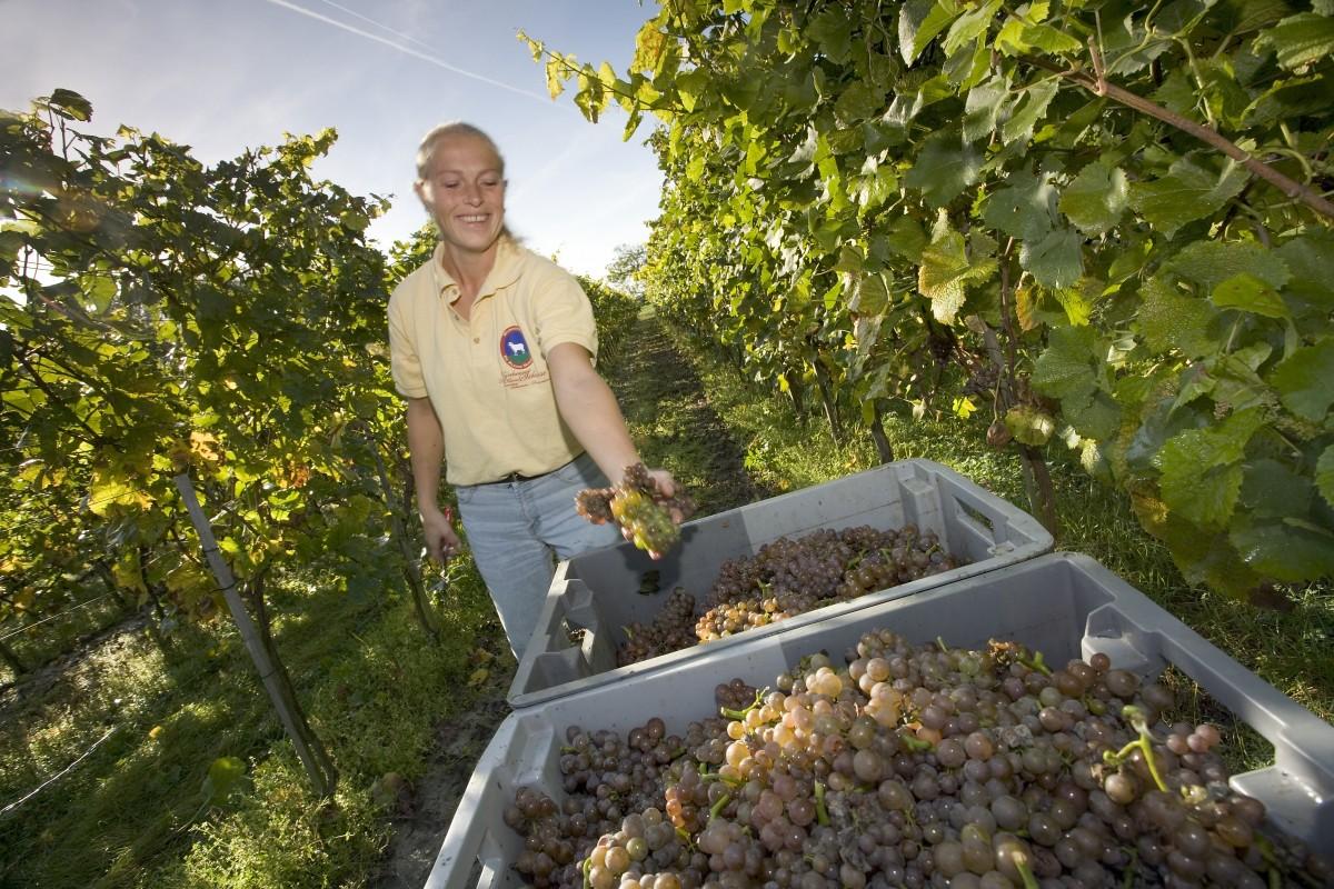 Nederlandse wijn -