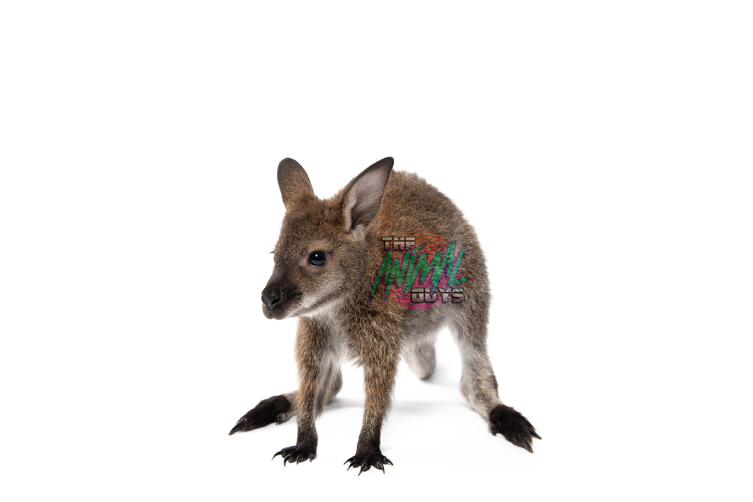 ELVIS - BENNETS WALLABY - 6mo OLDCOOLEST BABY EVER!LOVES TO PLAY