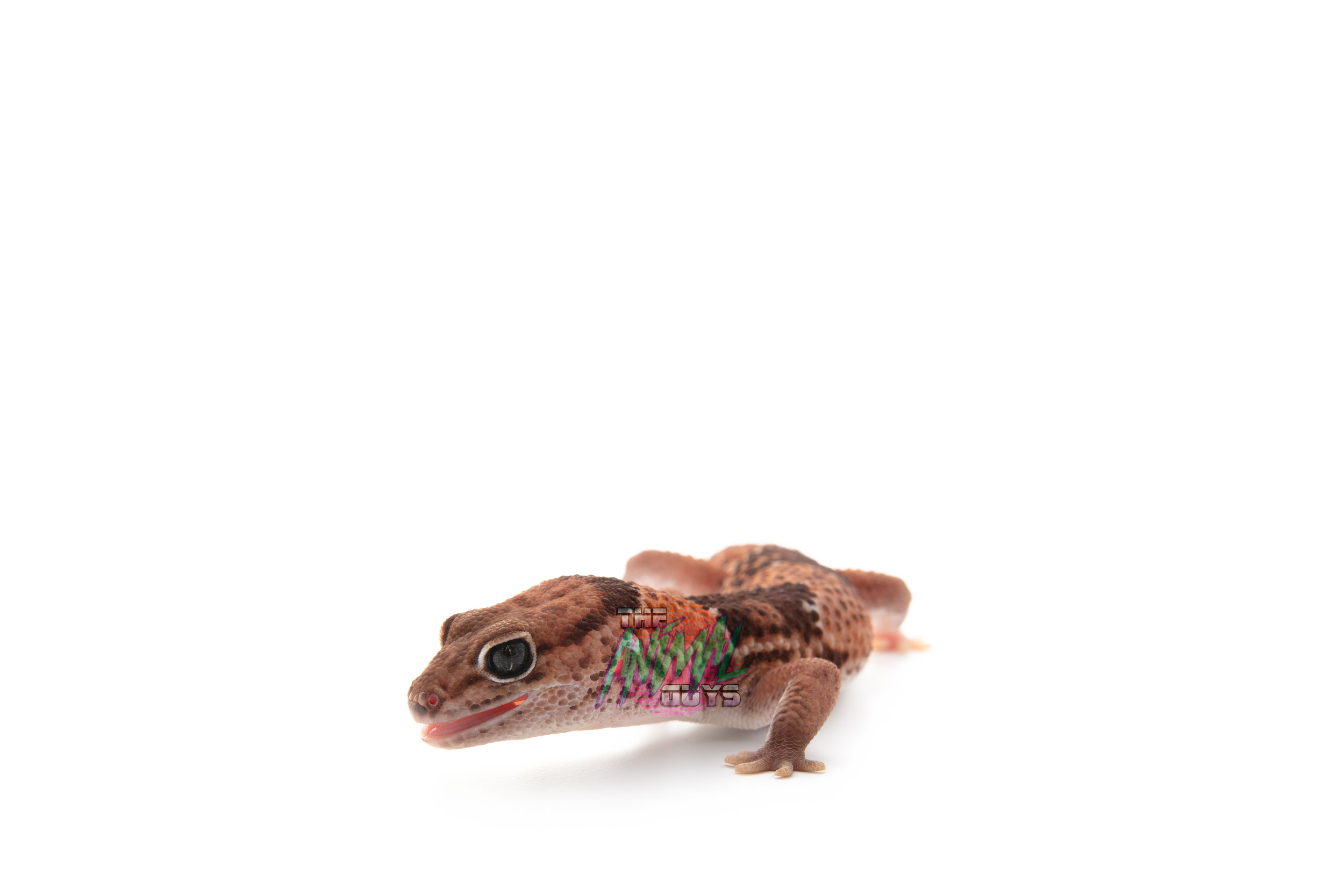 THOR - FAT TAIL GECKO - 2yr OLDCAPTIVE BORN/RAISED BY US!EATS CRICKETS/WORMS