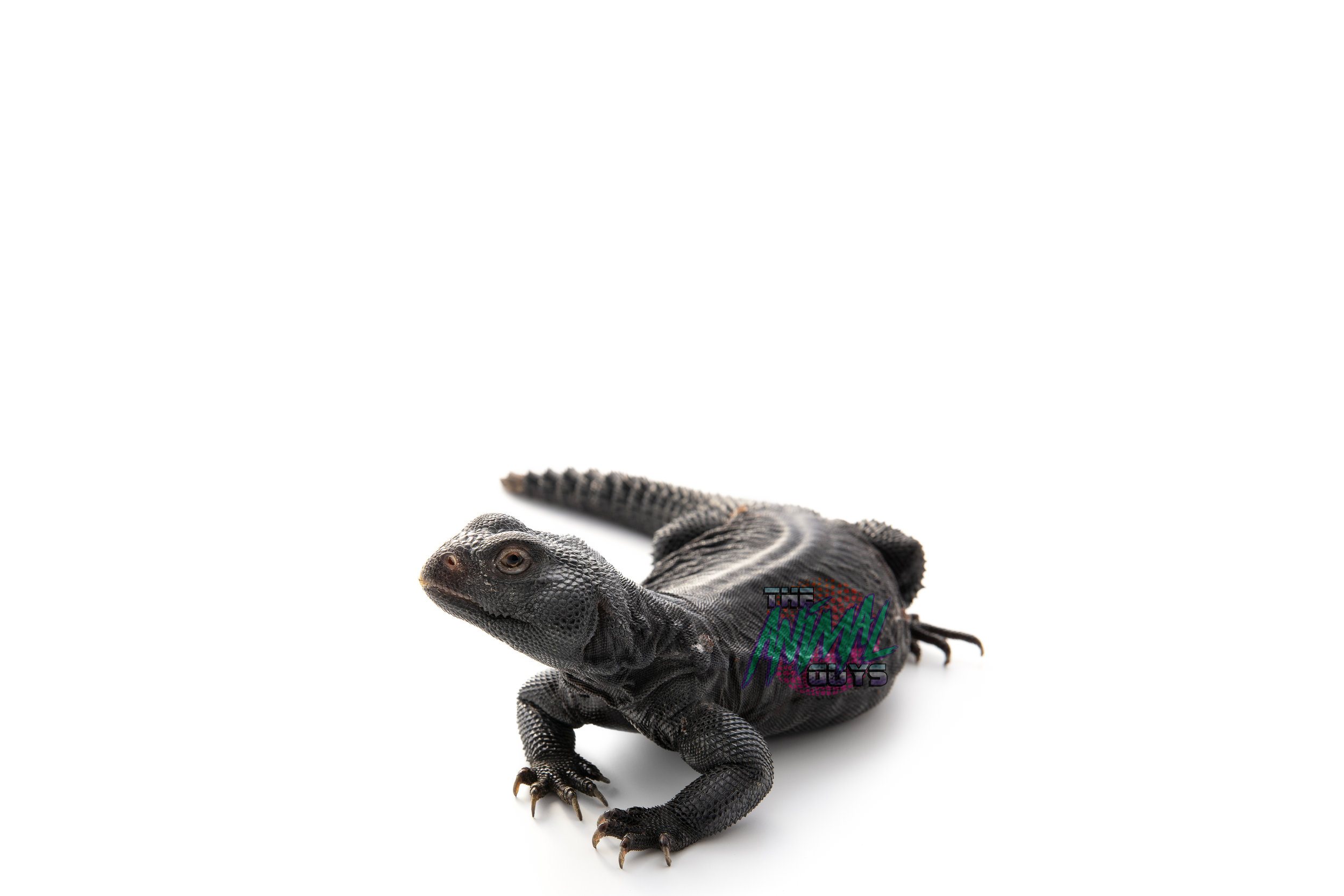 HAPPY - BANDED UROMASTYX - 4yr OLDDOES NOT BLOW FIREVEGETARIAN