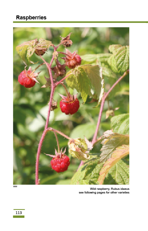 raspberries2.png