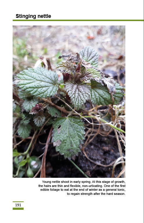stinging_nettle2.png