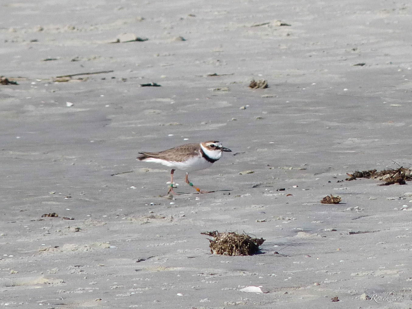 Tagged male Wilson's plover