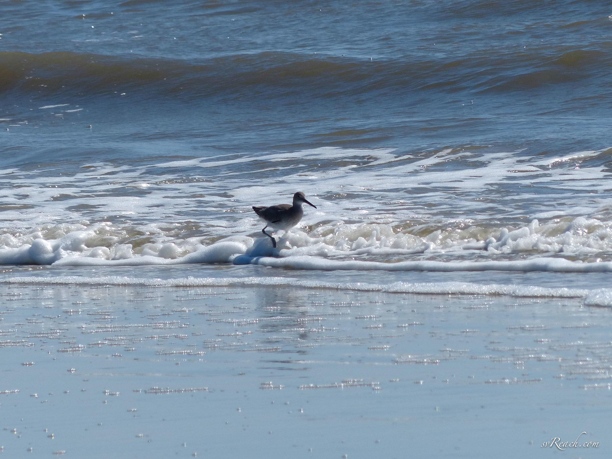 Willet wading