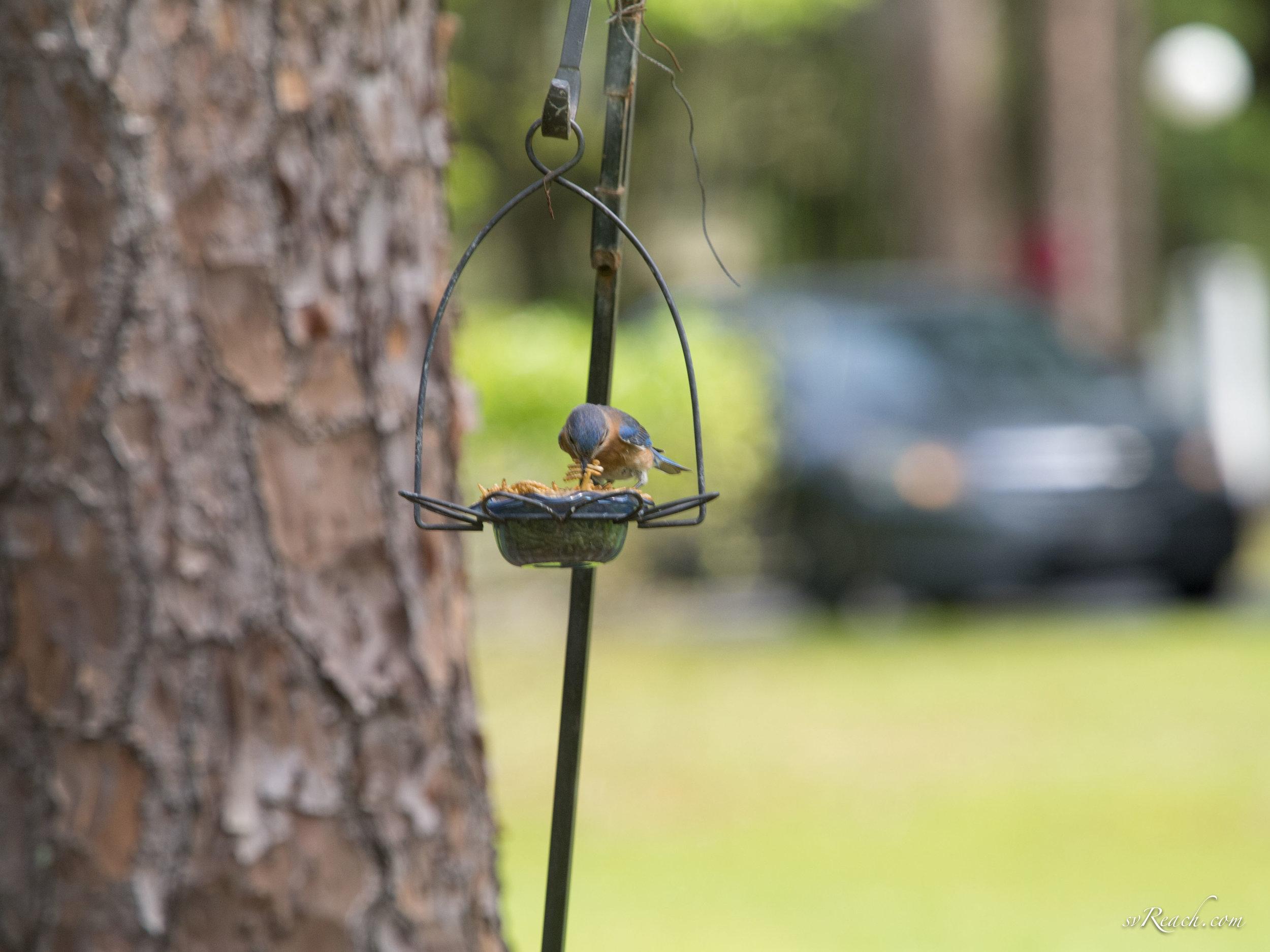 Juvenile eastern bluebird eating worms