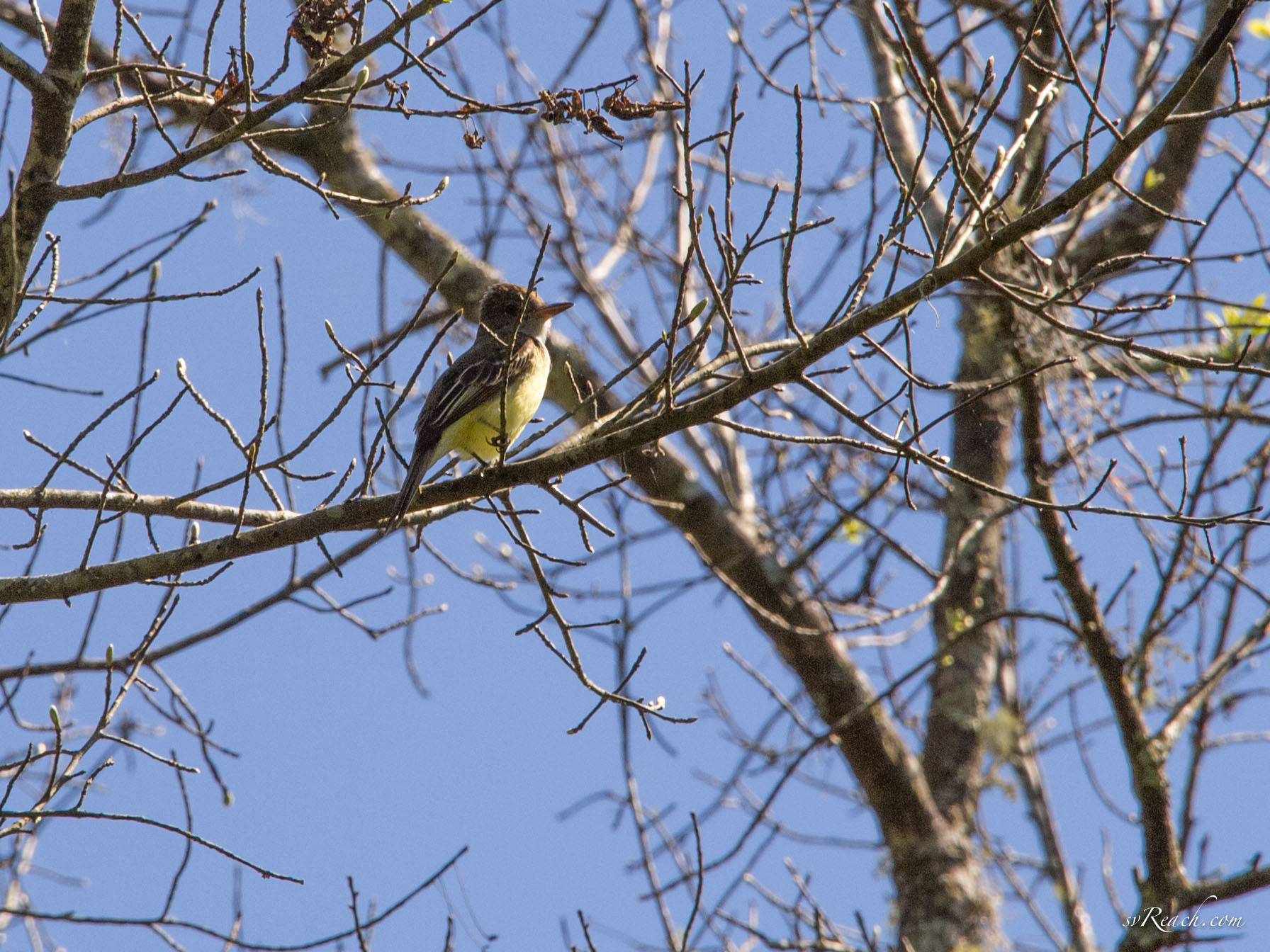 Greater crested flycatcher