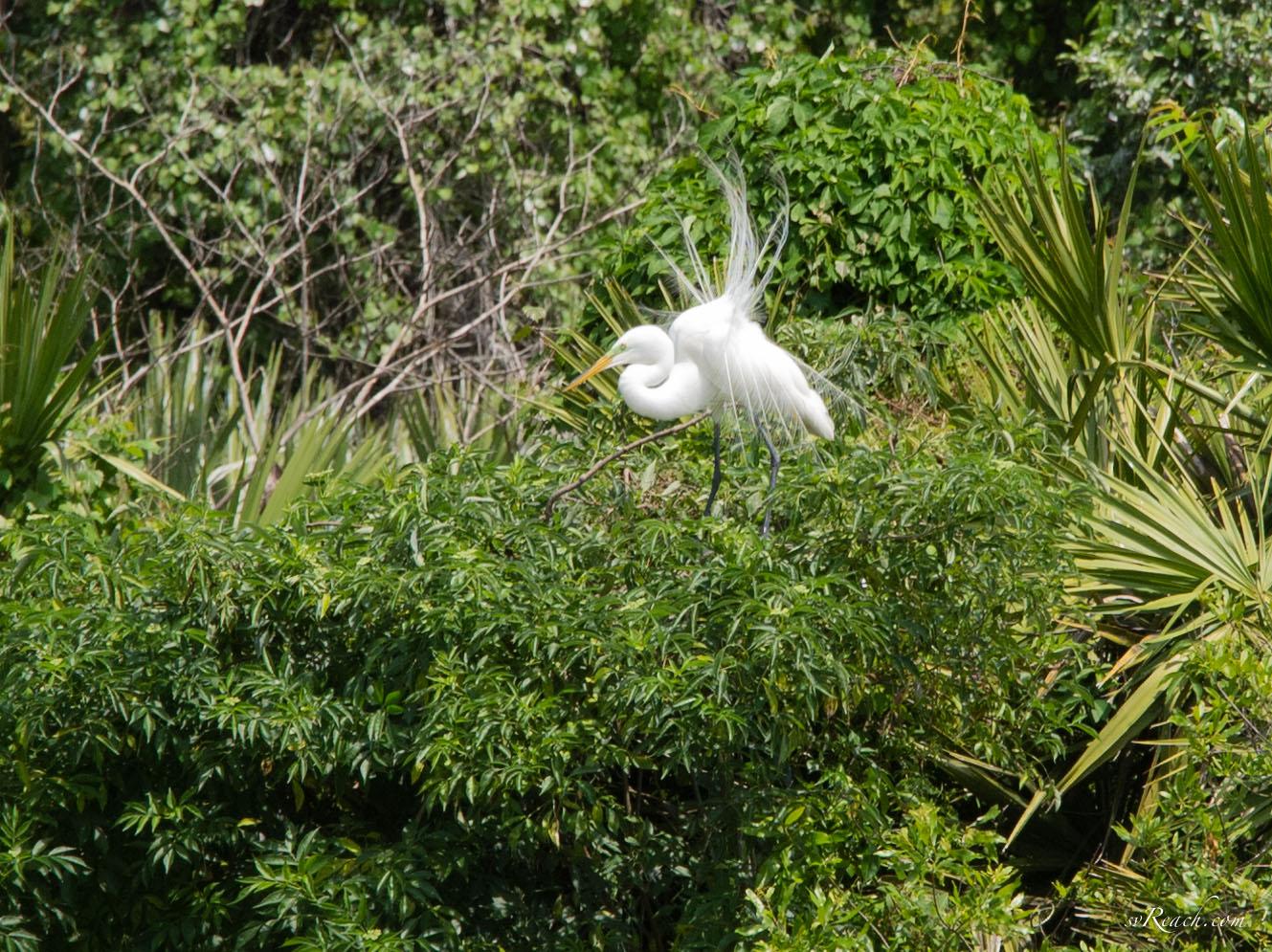 Great egret breeding plumage