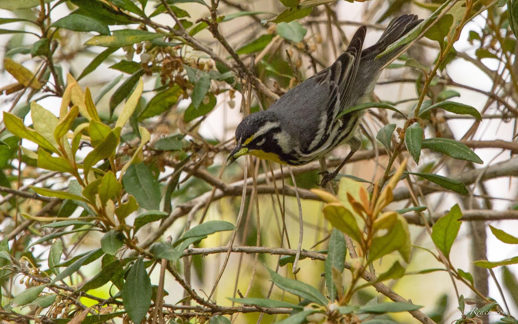 Yellow-throated warbler feeding