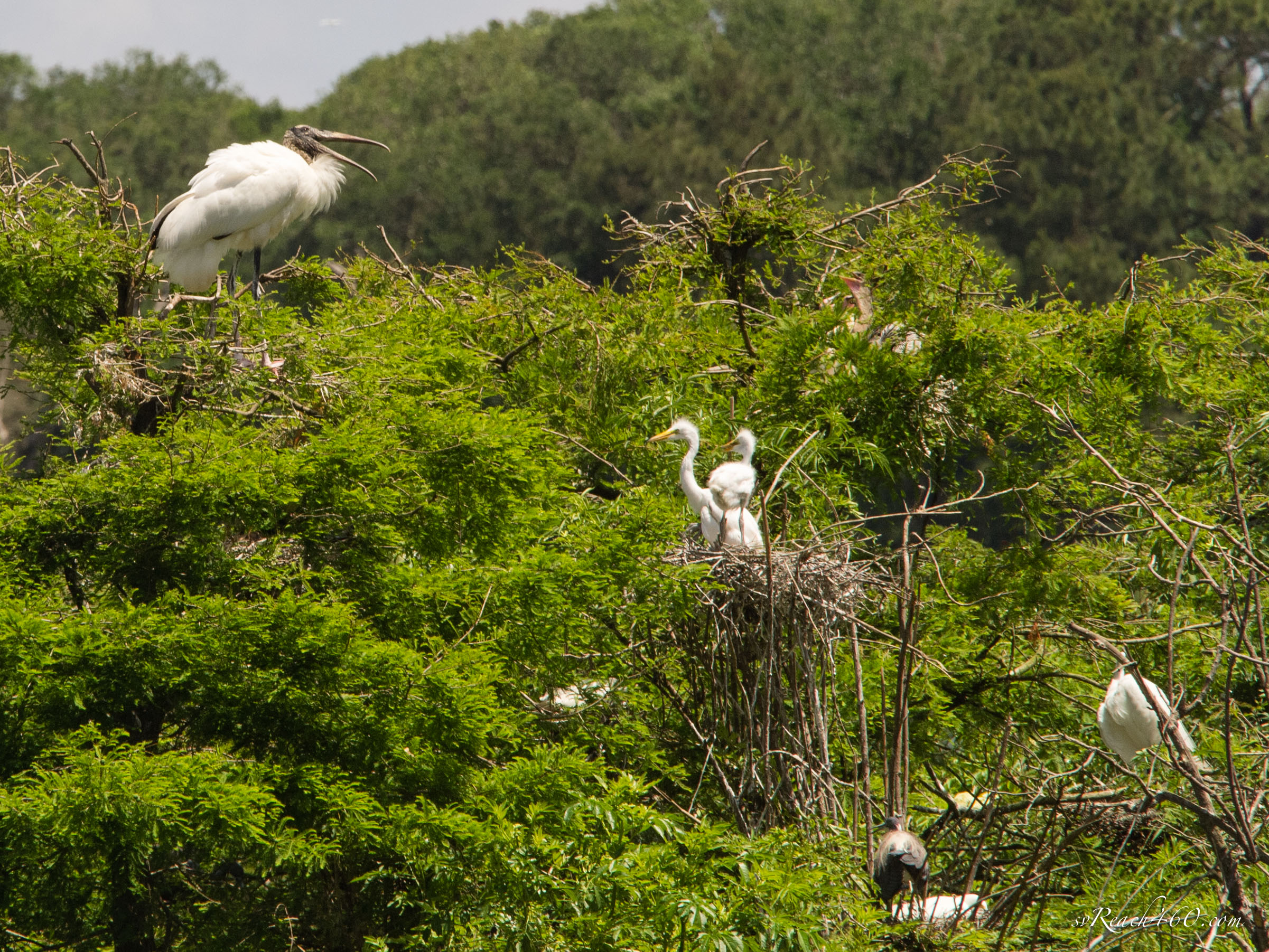 Wood stork & baby great egrets in nest