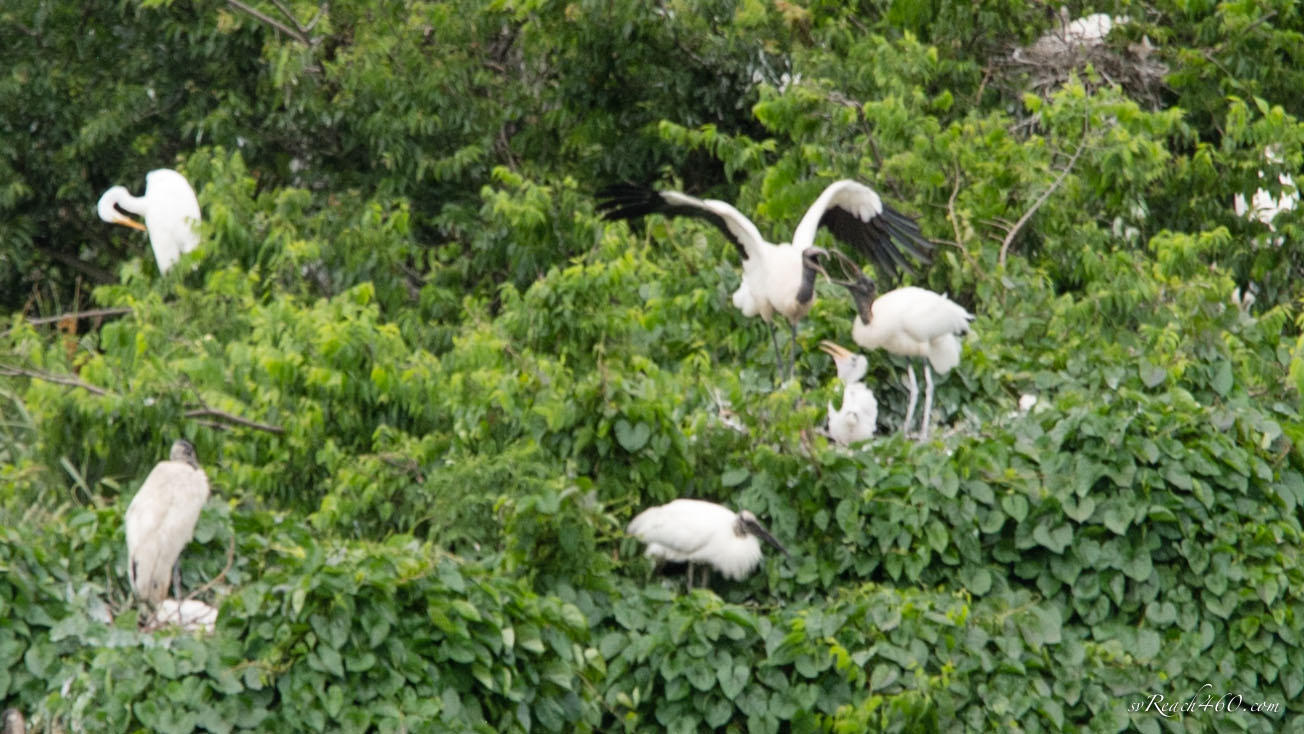 Baby wood stork with parents