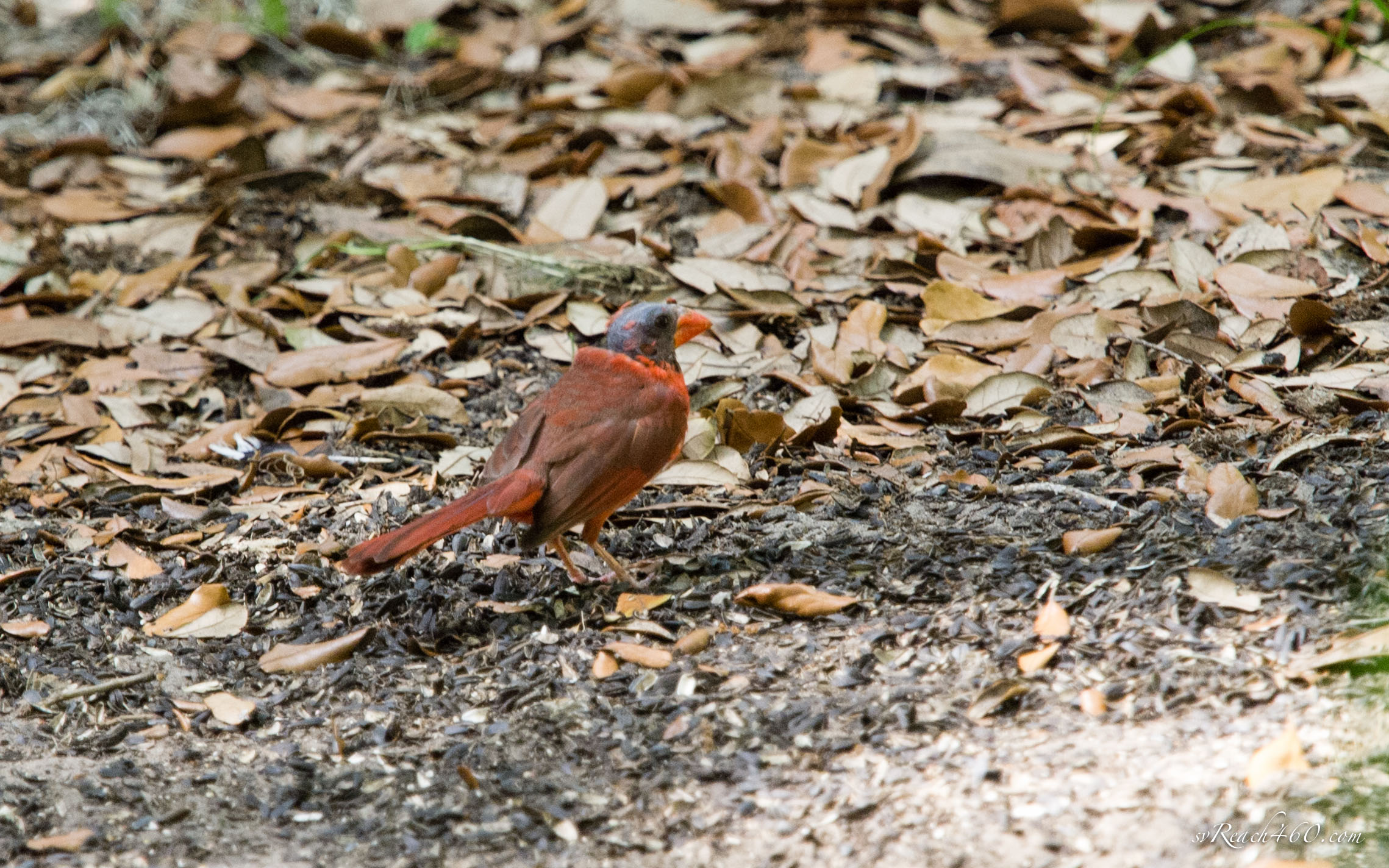 Norther cardinal moulting