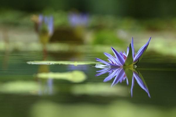 39-water-lilly.jpg