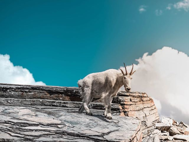 All good things are wild and free . . . #mountains #goats #wildlife