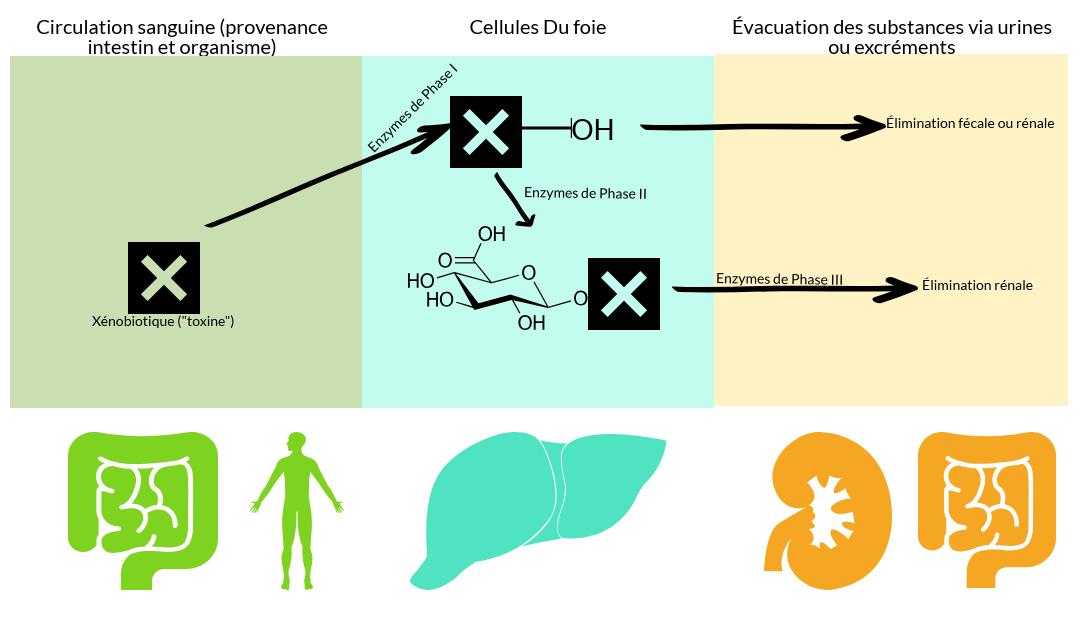 alix-le-calvez-diecc81tecc81ticienne-nutritionniste-bordeaux-e1550511997889.png