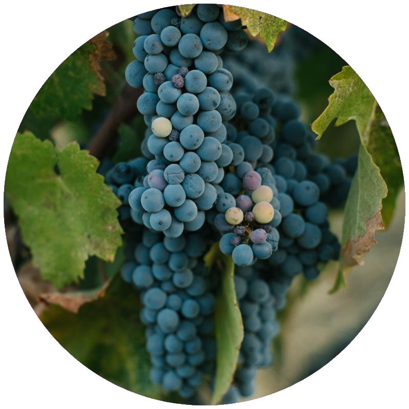 pinot grapes.png