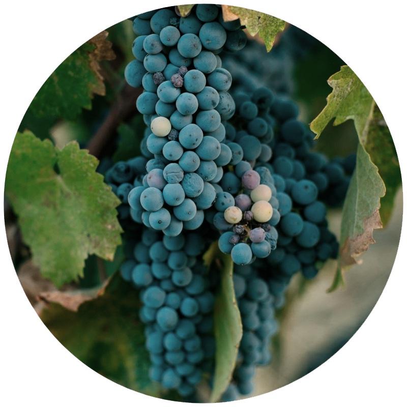 Zinfandel+Grapes.jpg