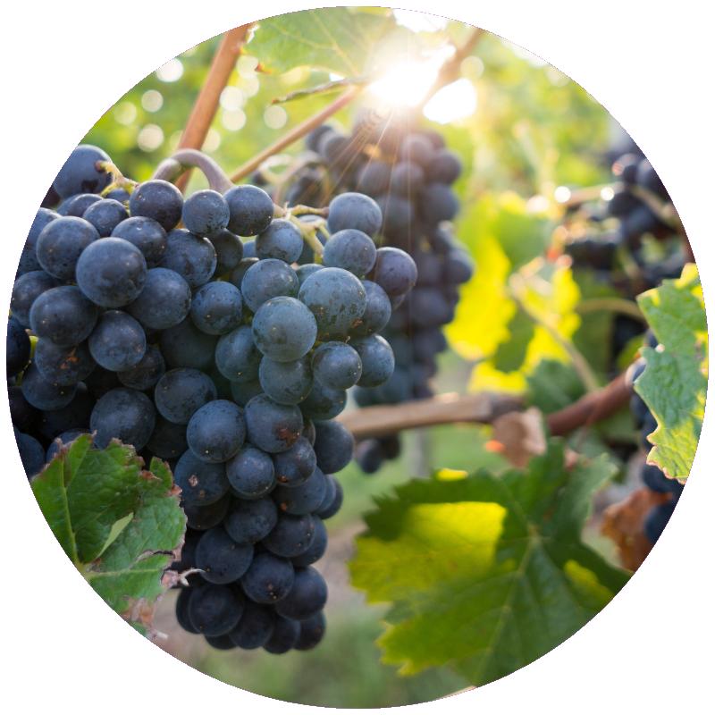 Pinot Noir Grapes.png