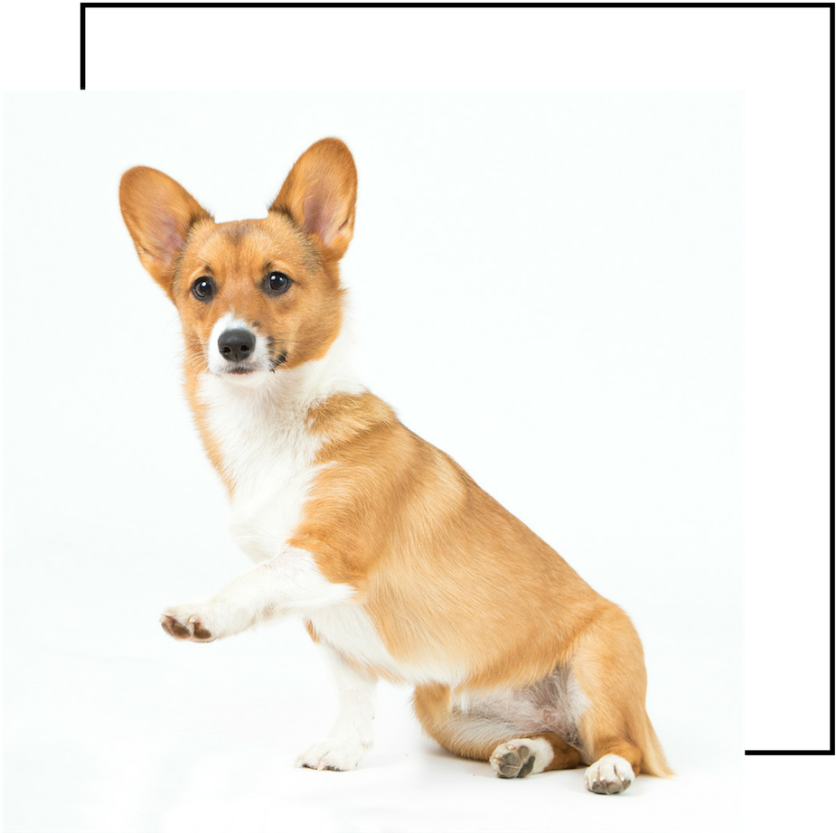 Meet Koda - Koda is a loving 2 year old Pembroke Welsh Corgi with a desire for one thing: snuggling. When there is no one on the couch for her to curl up next to, she can be found in our backyard chasing squirrels, frisbees, or Moose