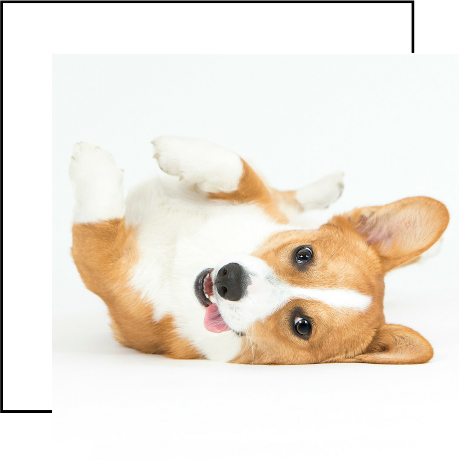 Meet Moose - Moose is a rambunctious 2 year old Pembroke Welsh Corgi with a passion for adventures, rolling in wet grass, and bananas. Wherever he goes, Moose is always flaunting his charismatic smile and goofy personality