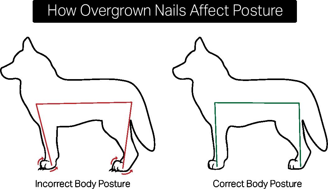 overgrown nails affect dog posture .png