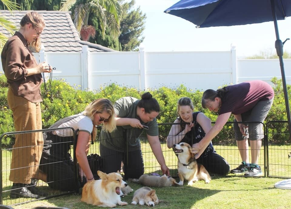 corgi mom dad and puppies.JPG