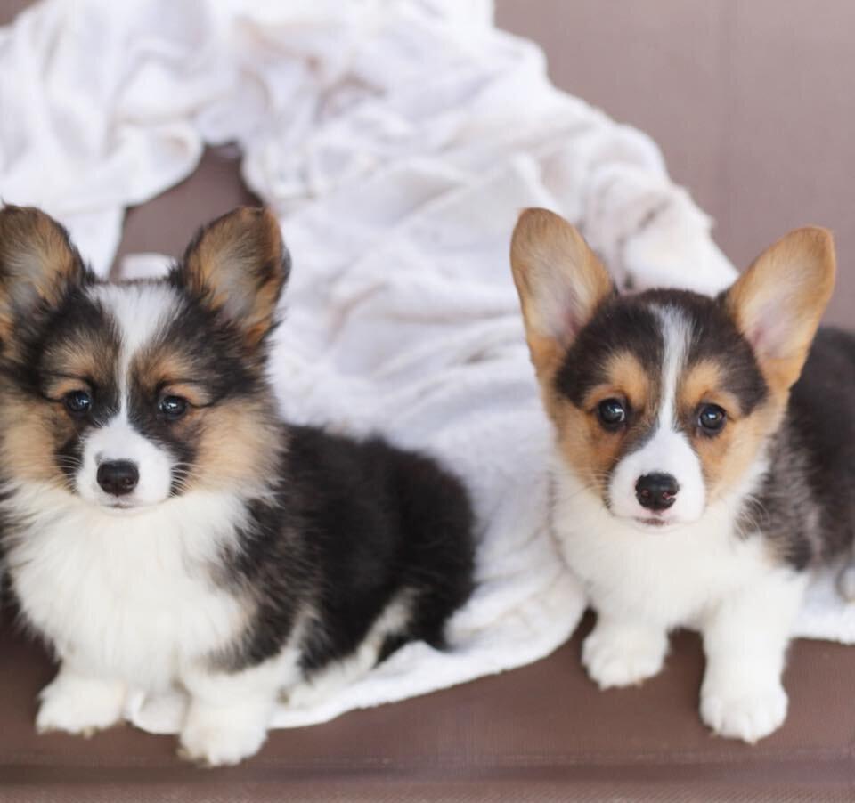 fluffy corgi puppies