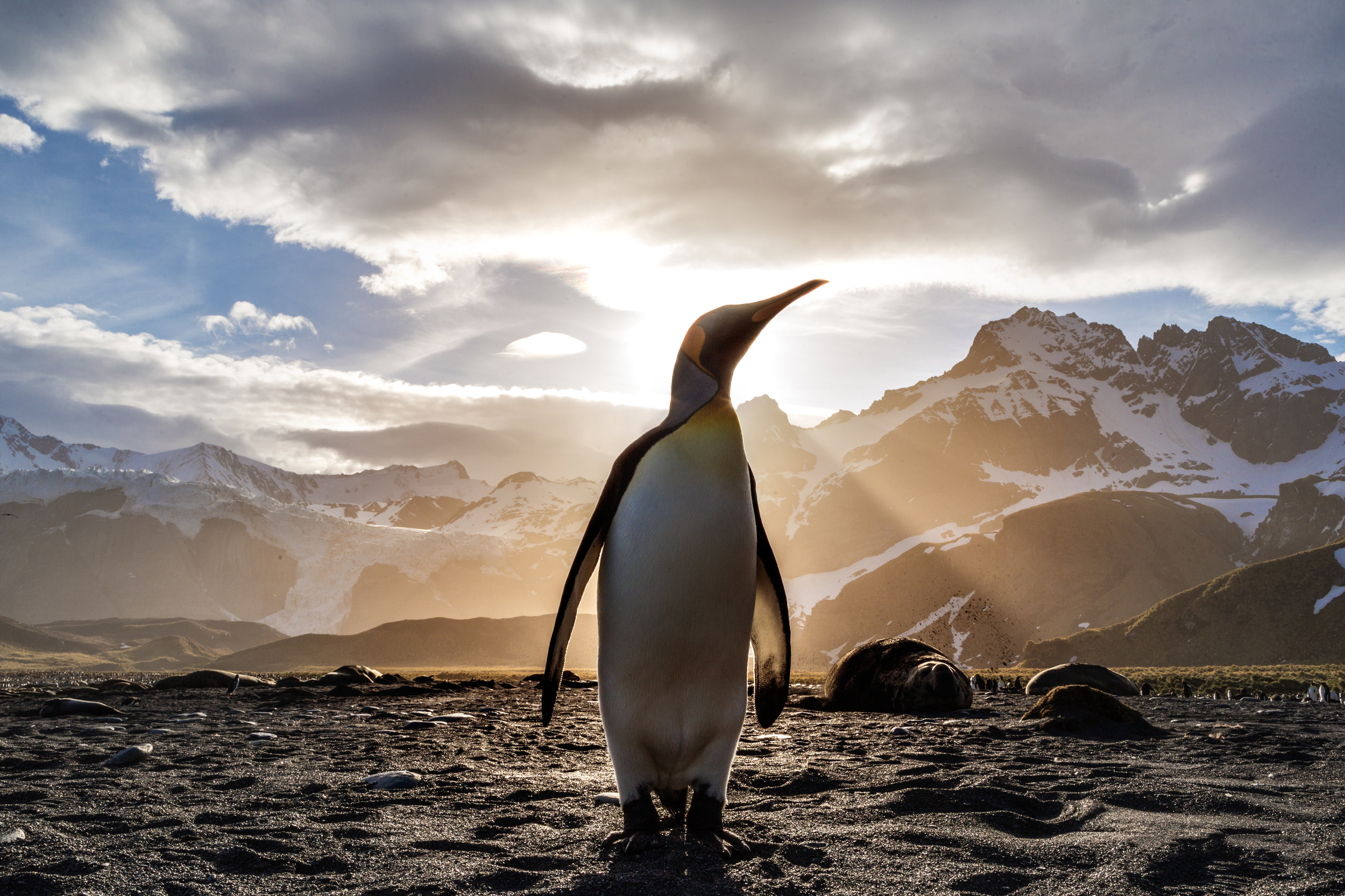 Ursula, a king penguin on South Georgia Island, must learn to stay safe as she ventures into the ocean for the first time.