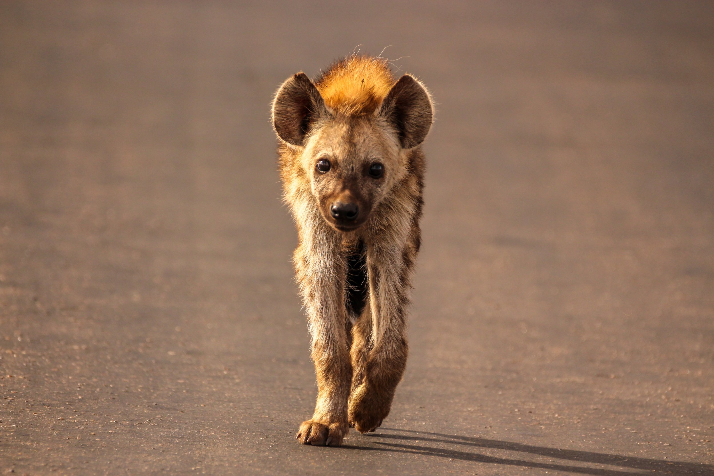 Shrink, a male spotted hyena in Tanzania, must read social cues and find acceptance within his clan.