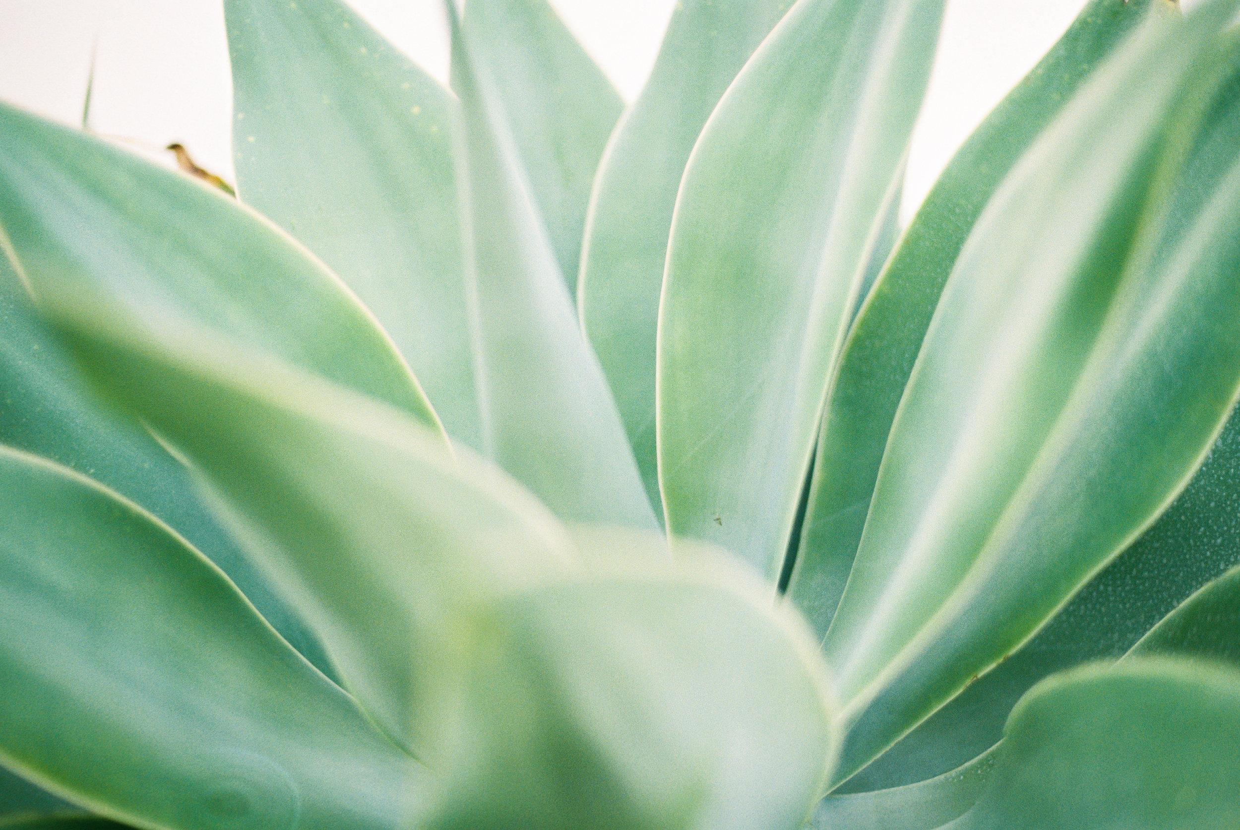 Aloe 4.jpg
