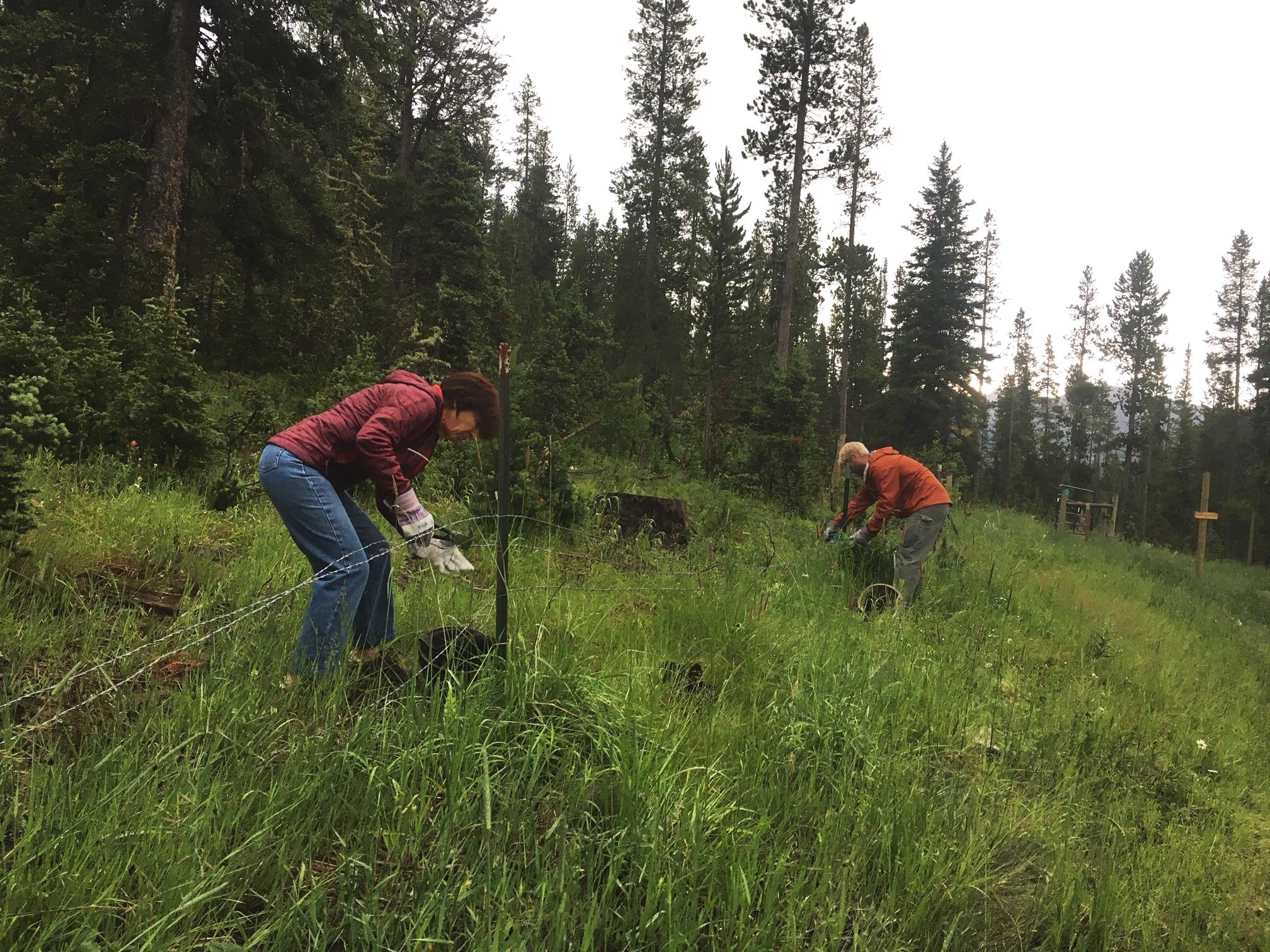Volunteers fence pulling in Moser Creek in July.