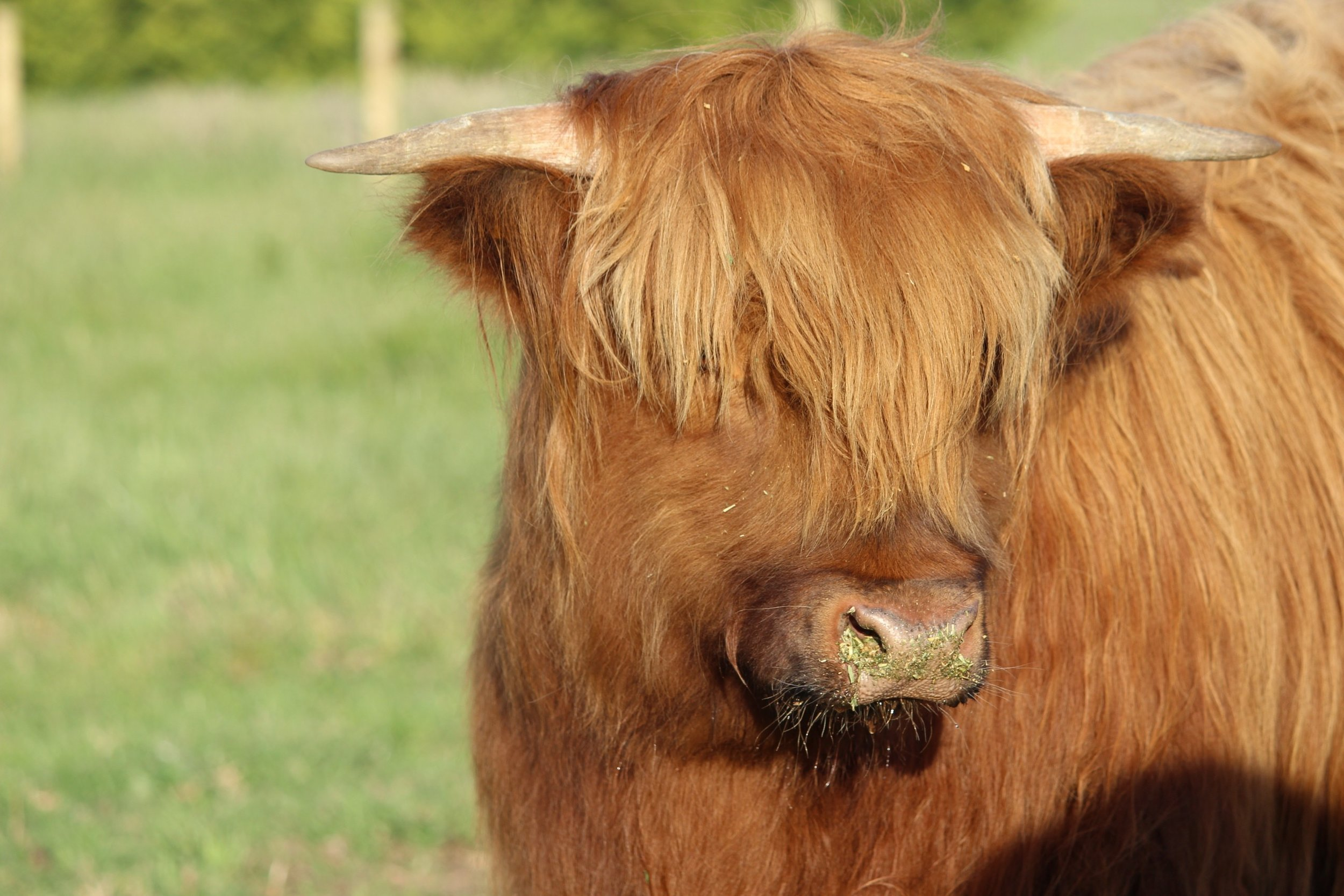 rory - While he may not be the Boss, this guy has our hearts. He is shy and takes longer to warm to people. This 'hairy coo' loves a scratch and enjoys lucern as a treat.