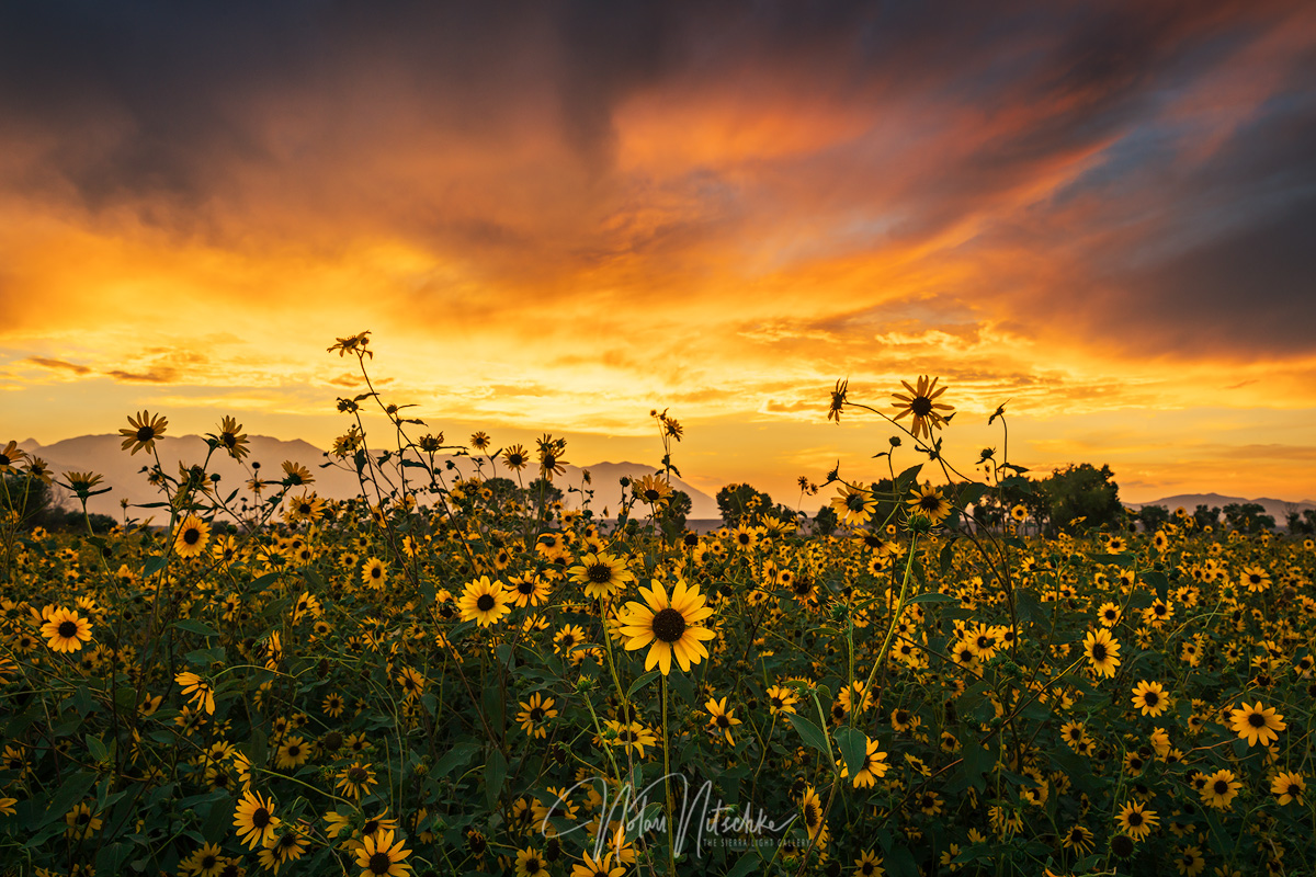 sunflower sunset copy.jpg