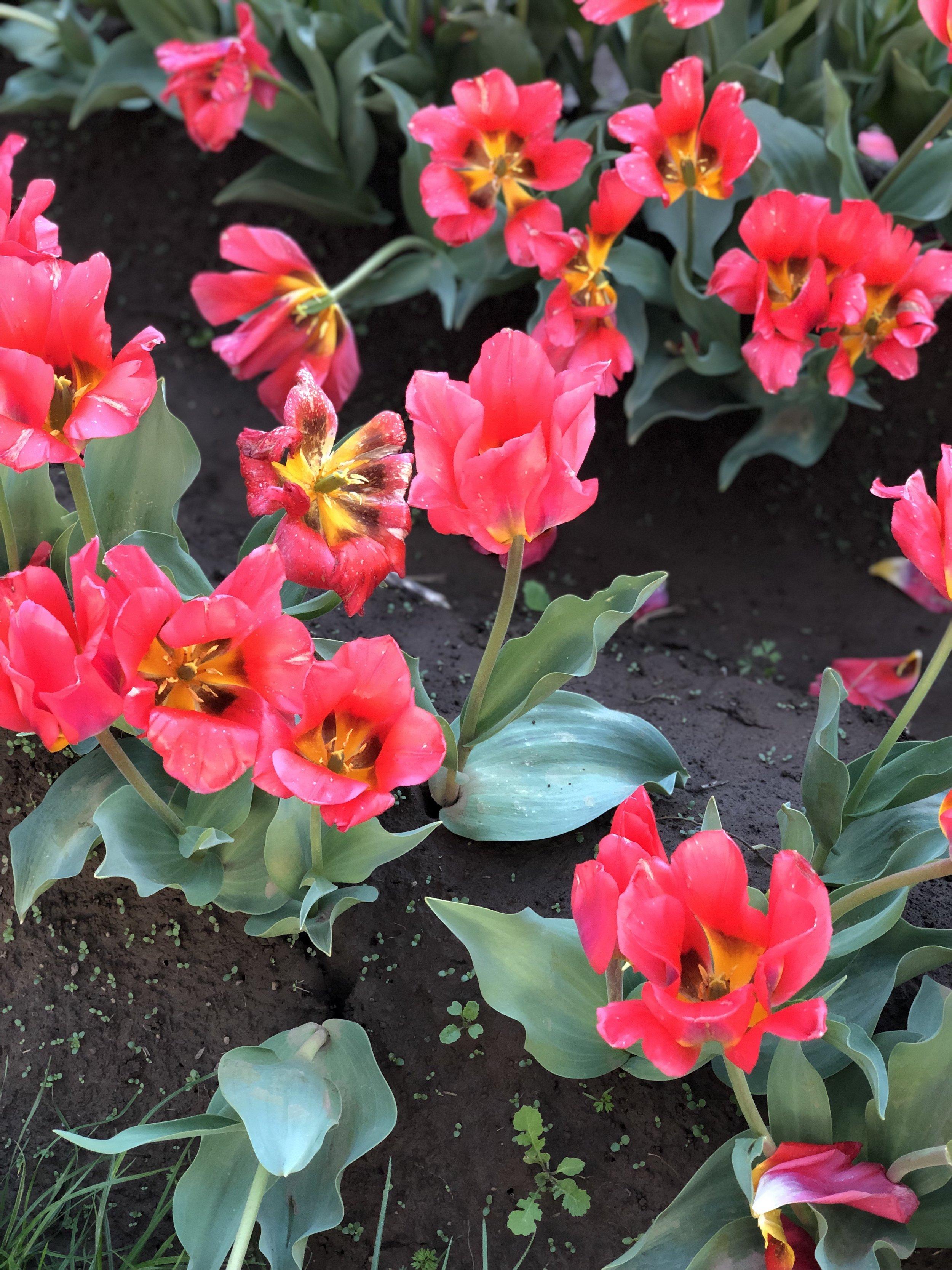 wooden shoe tulip farm woodburn, oregon from livingforaged.com