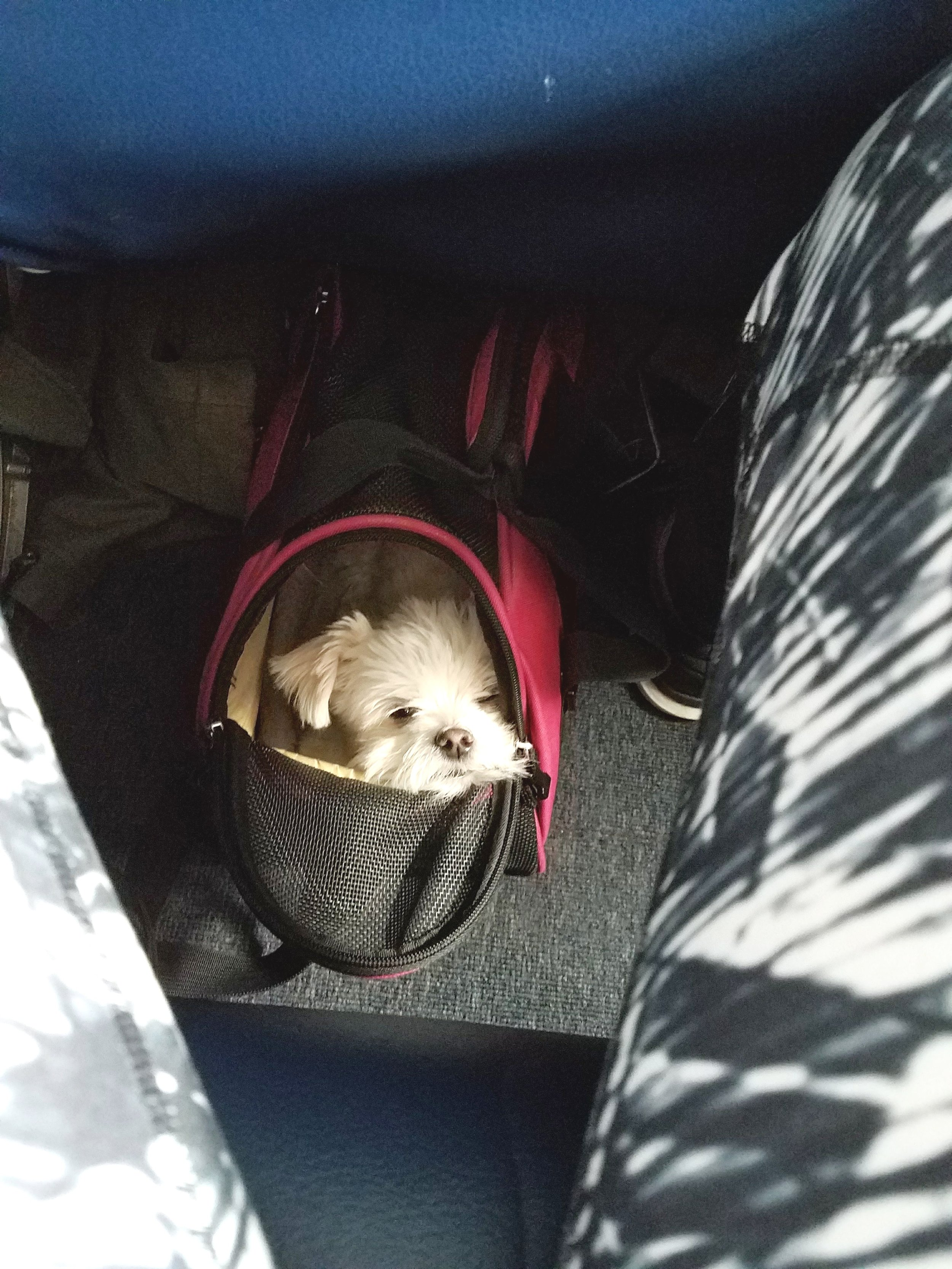 tips for flying with small dogs on livingforaged.com